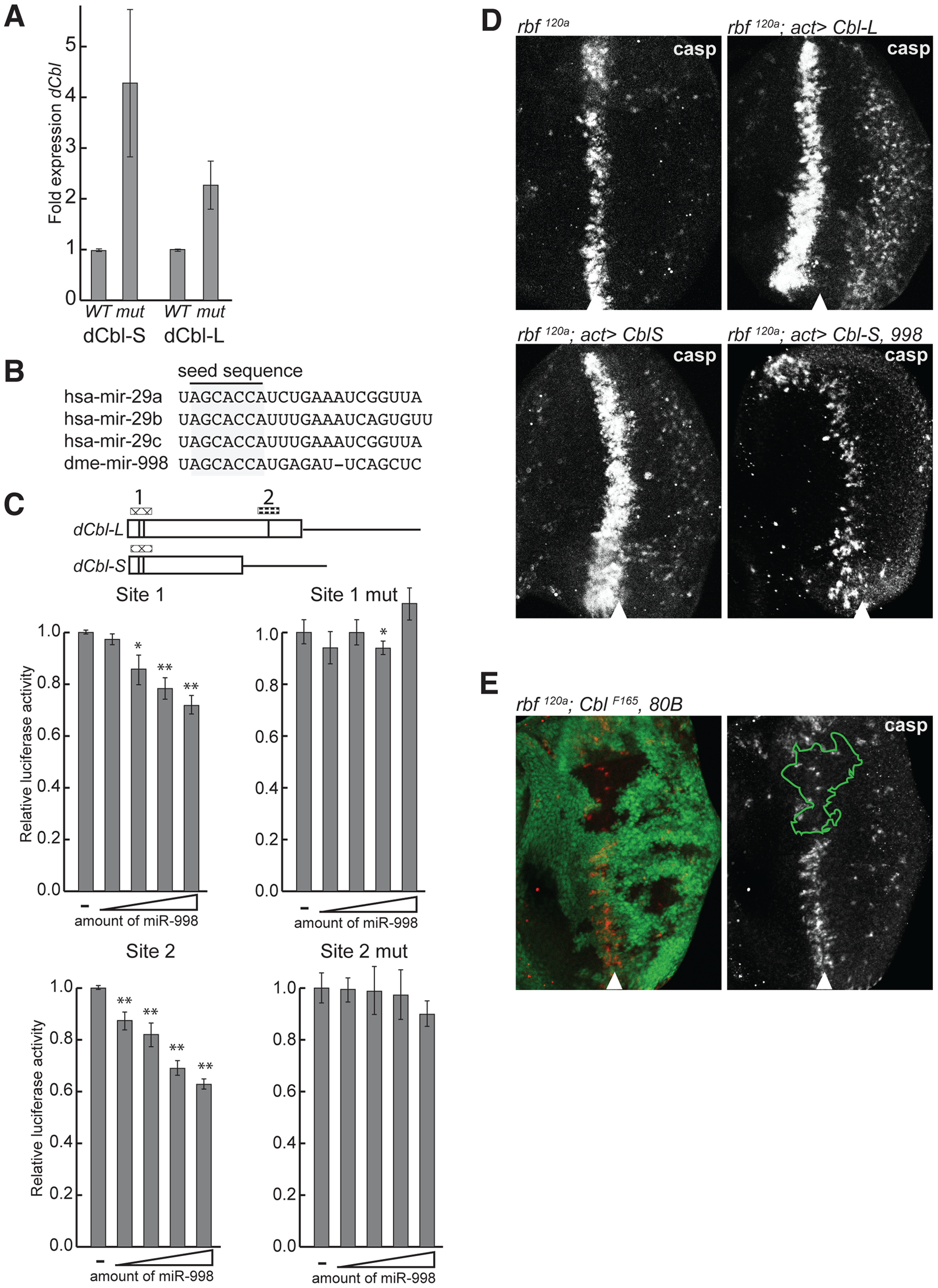 miR-998 enhances EGFR signaling by repressing <i>dCbl</i>.