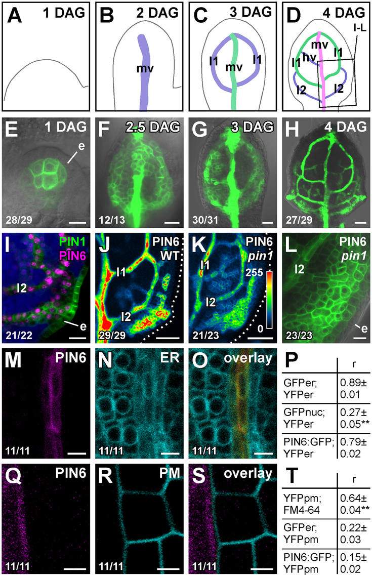 PIN6 expression in leaf development.