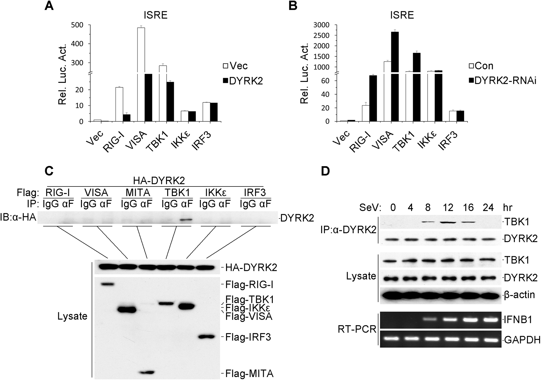 DYRK2-mediated virus-triggered signaling at the level of TBK1.