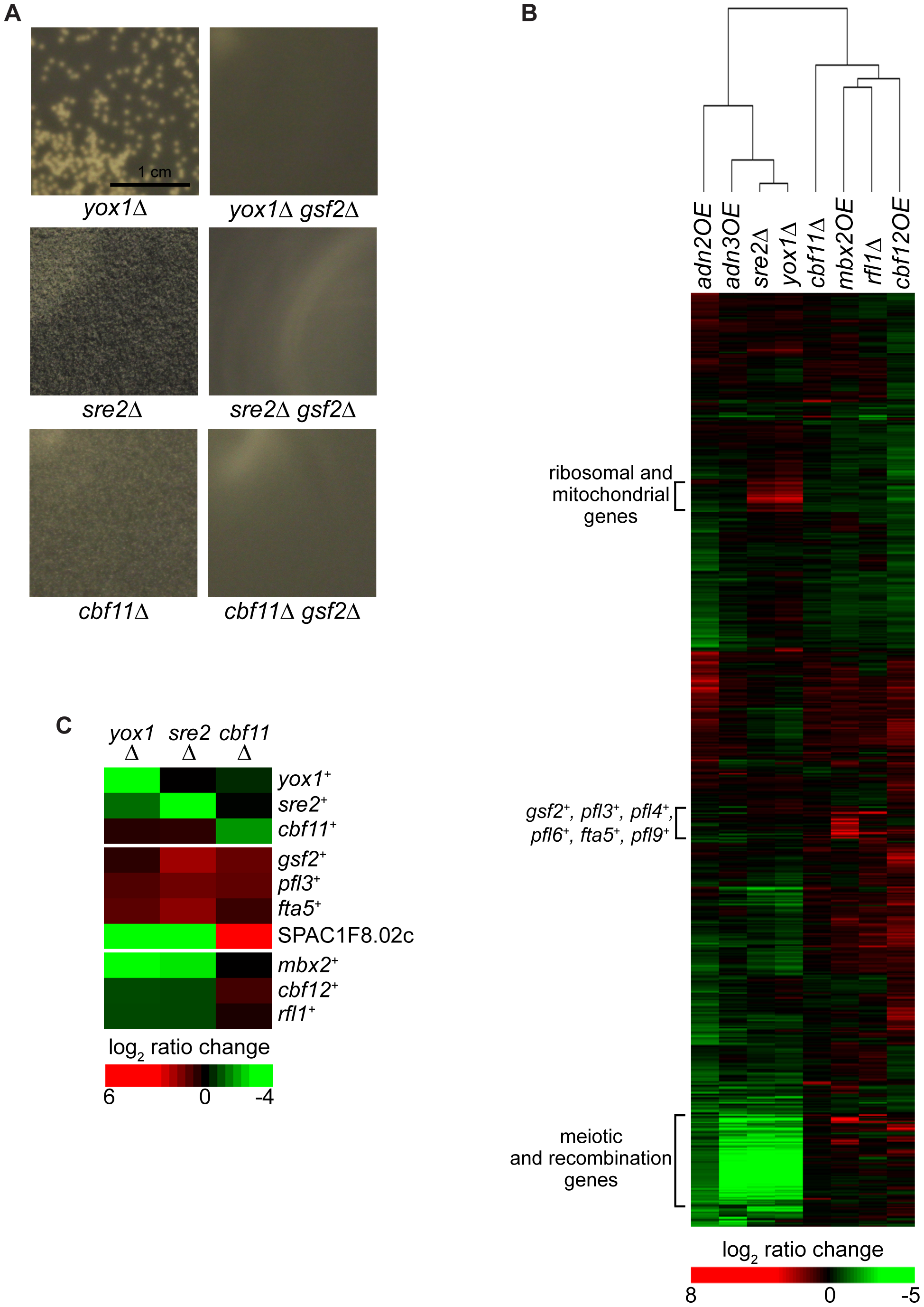 Regulation of flocculation by Yox1, Sre2, and Cbf11.
