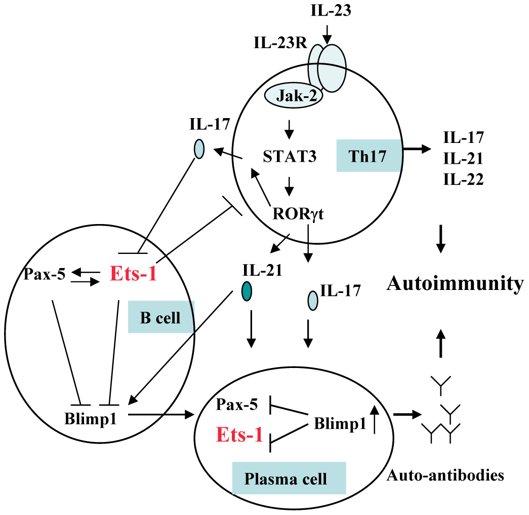 Involvement of <i>ETS1</i> in Th17 cell and B lymphocyte development and autoimmunity.