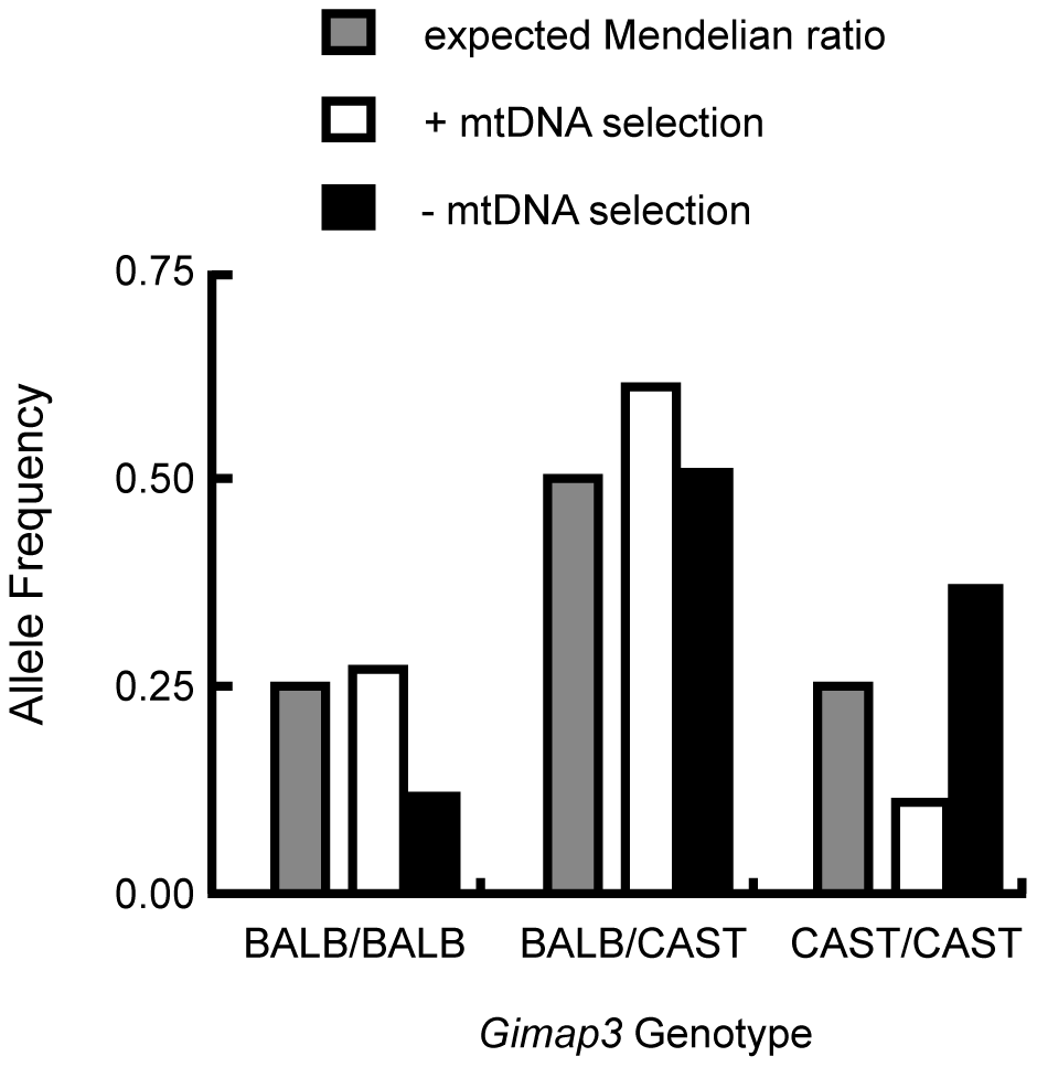 Enrichment of the CAST/Ei <i>Gimap3</i> allele in three-month-old F2 mice with no mtDNA selection.