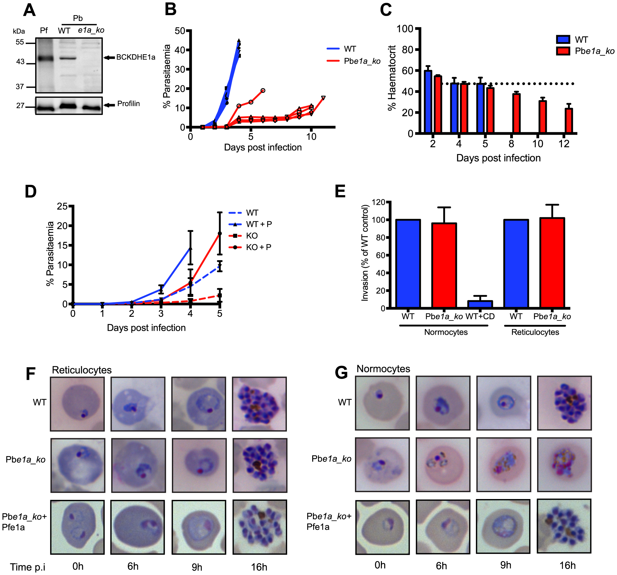 BCKDH is required for growth of <i>Plasmodium berghei</i> in mature RBCs.