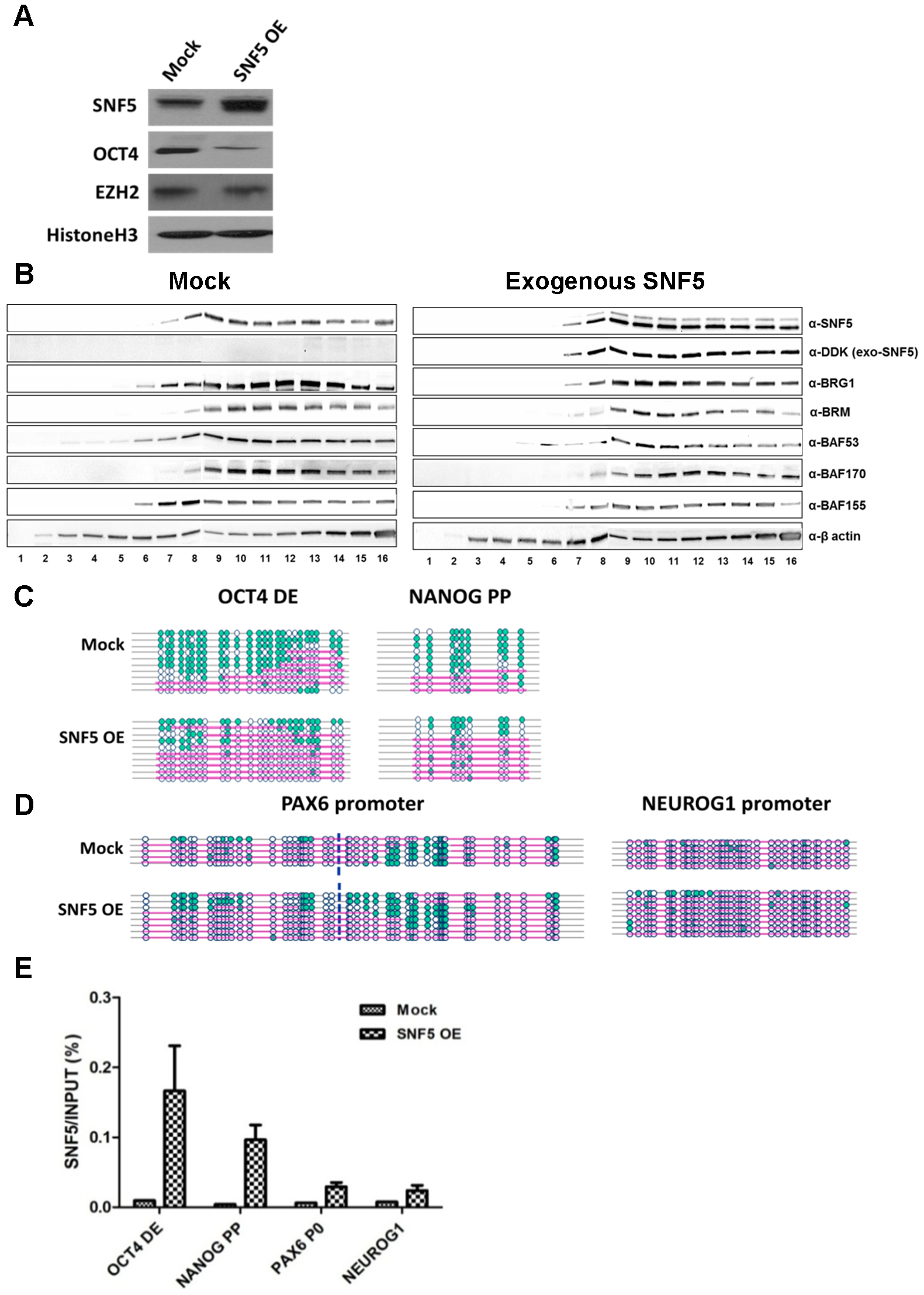 Overexpression of SNF5 disturbs epigenetic regulation and enhances differentiation.