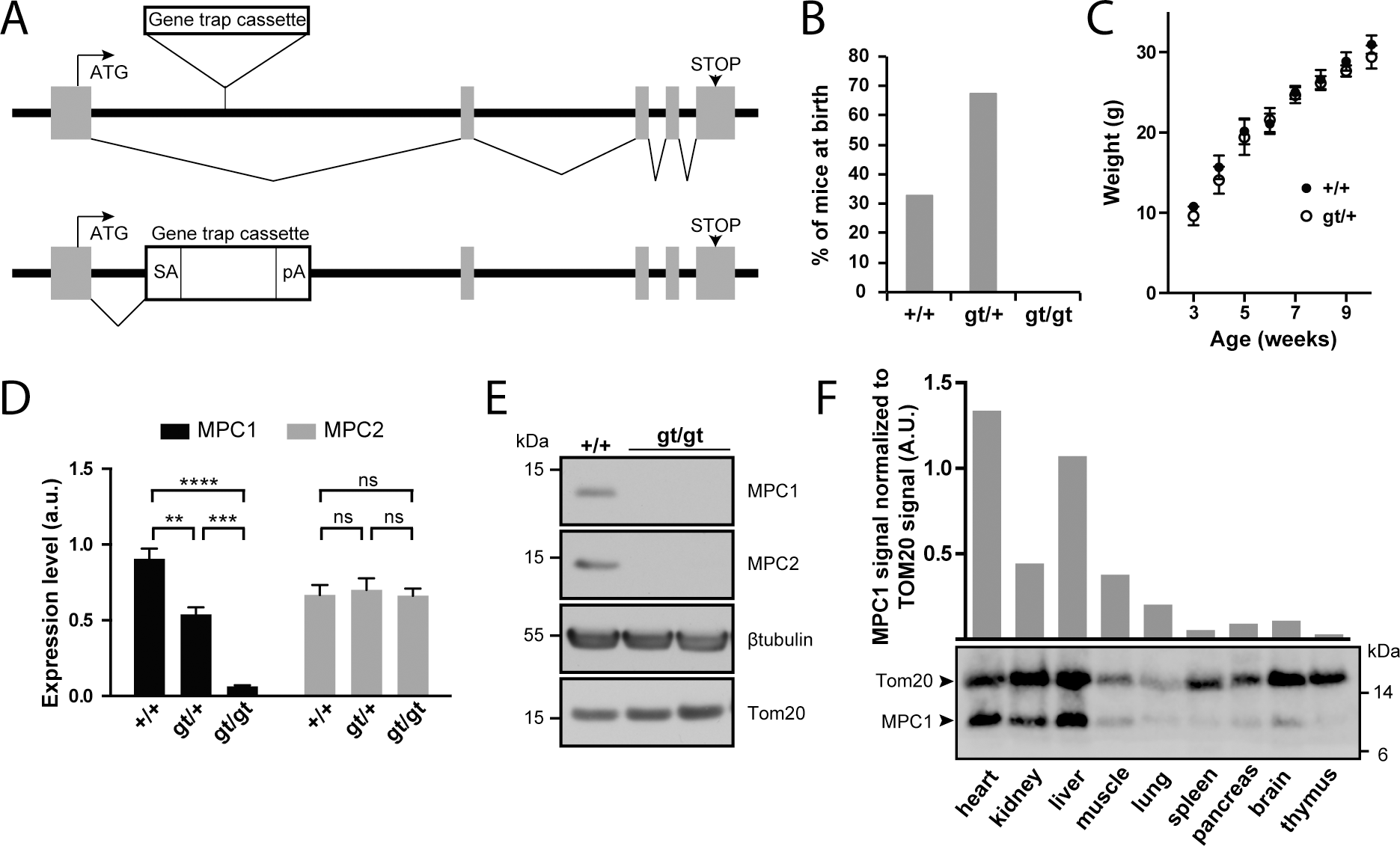 Disruption of the <i>MPC1</i> gene in mice.