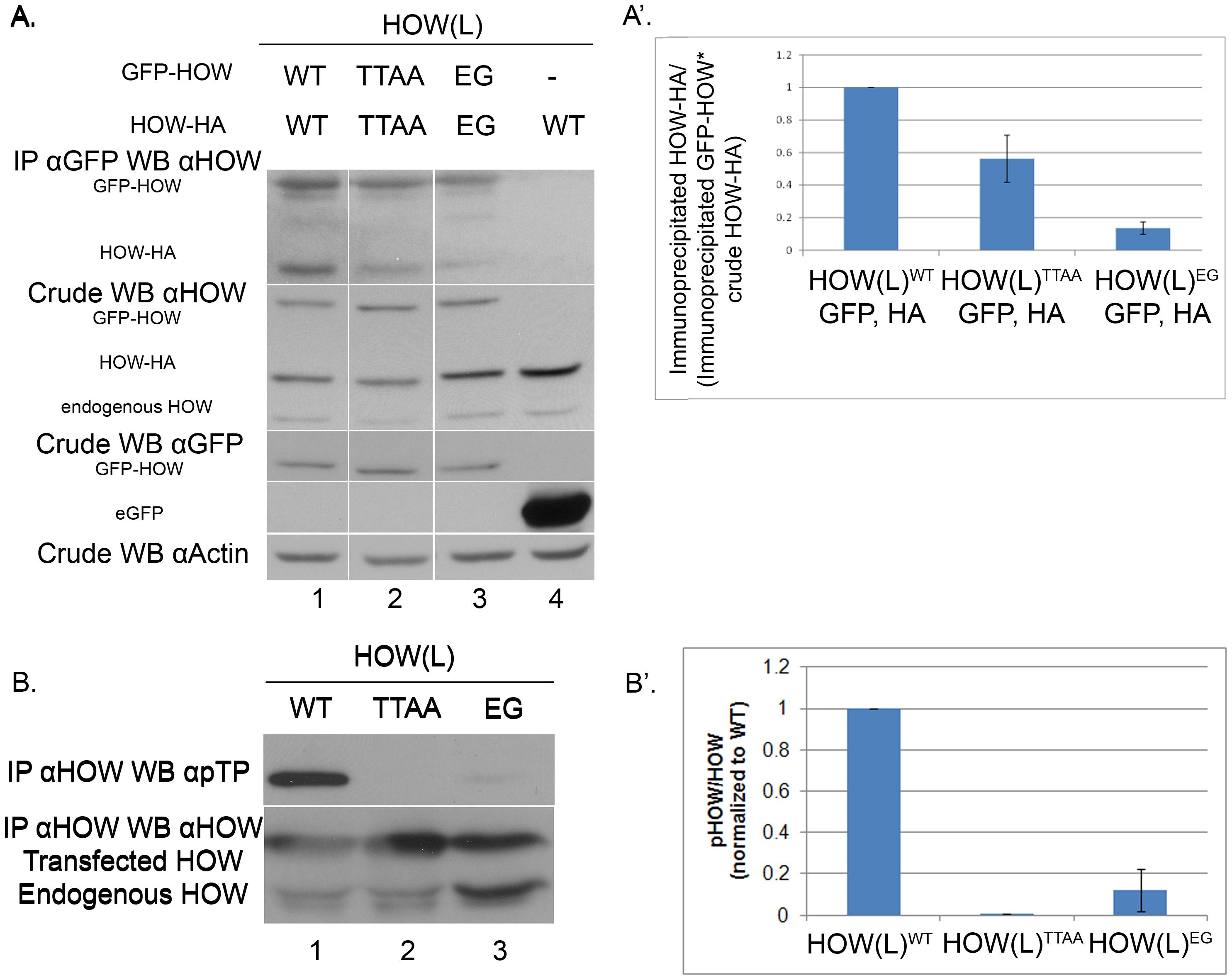HOW(L) phosphorylation correlates with its homo-dimerization.