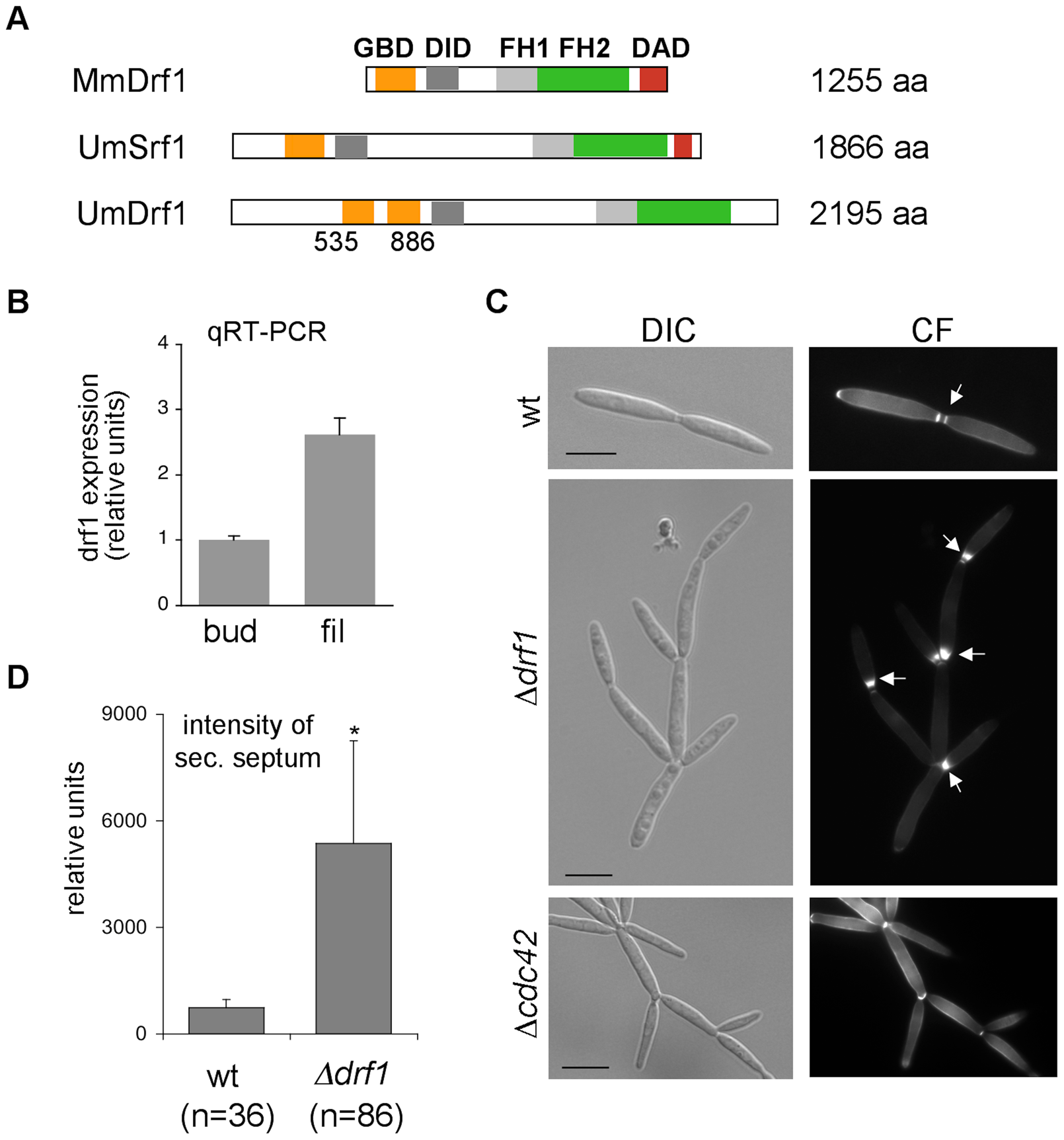 <i>drf1</i> expression is induced during filamentous growth and its deletion shows a cell separation defect.
