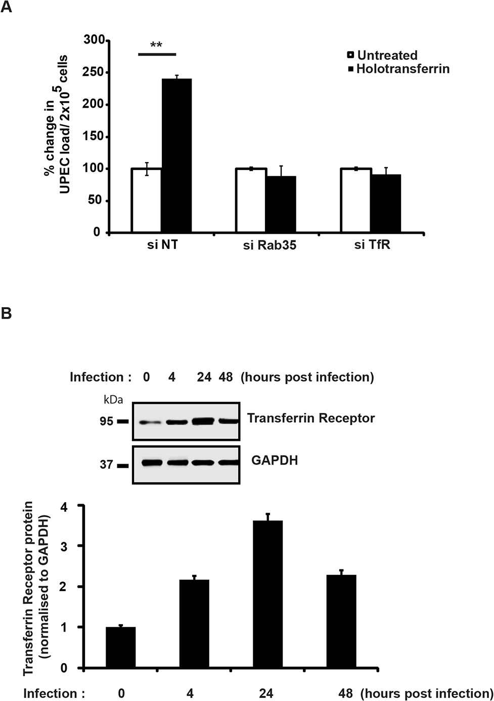 Iron supplementation is unable to support intracellular UPEC survival in the absence of Rab35 or TfR.