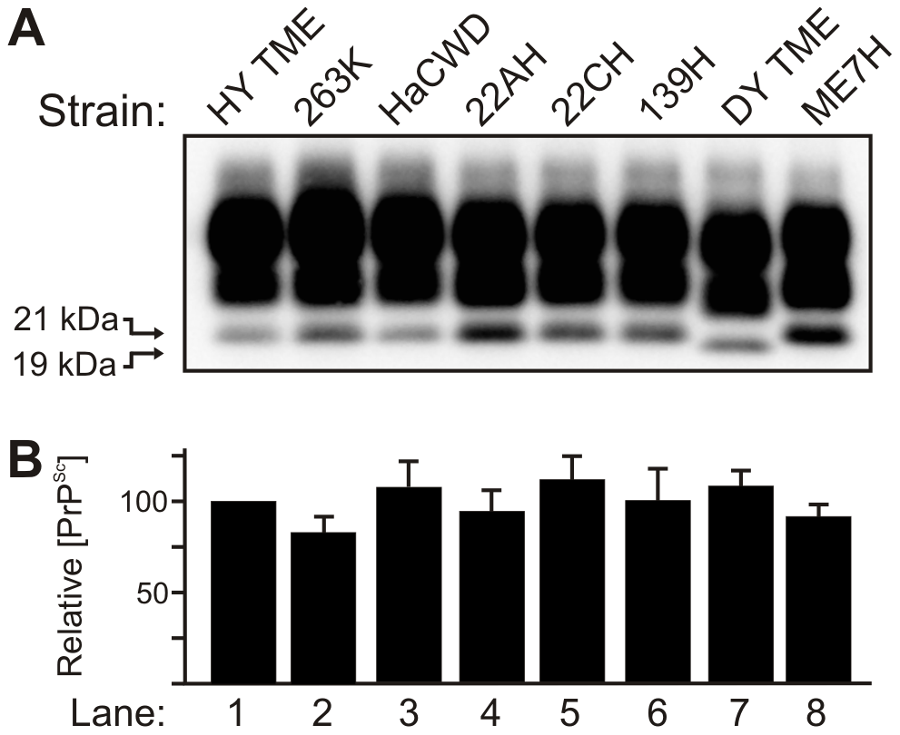 The molecular weight and abundance of brain-derived PrP<sup>Sc</sup> of hamster-adapted hamster strains are similar.