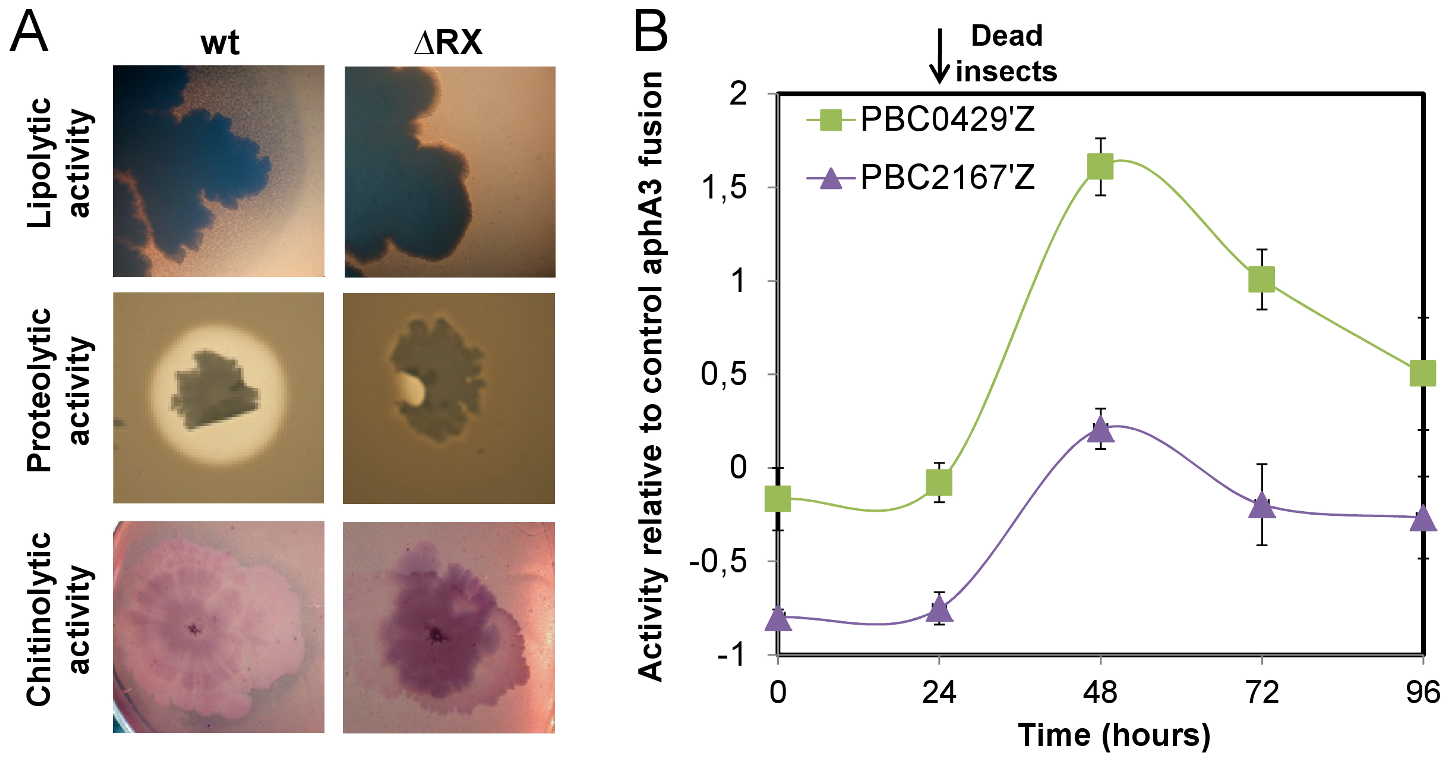 NprR is involved in the necrotrophic development of <i>Bt</i> in the insect cadaver.