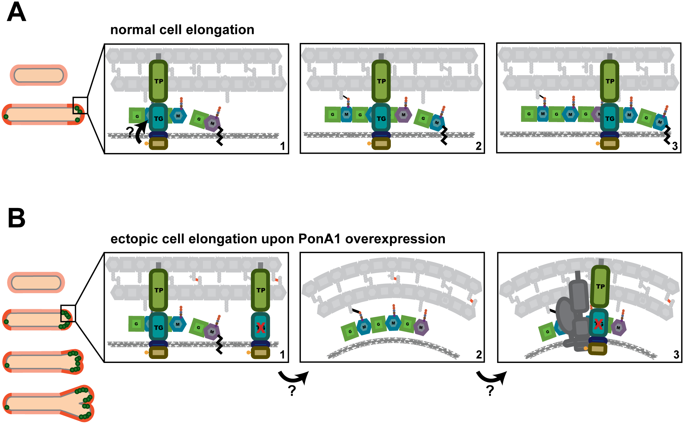 A model for how PonA1 promotes cell elongation in mycobacteria.