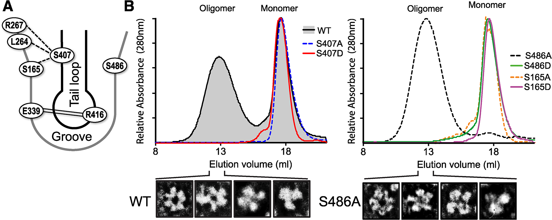 S407 and S486 are located at the NP:NP interface and influence oligomerization.