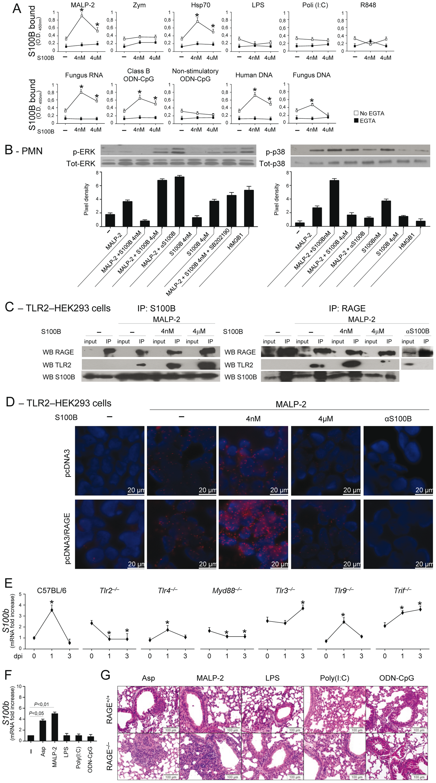 The S100B/RAGE axis restrains TLR2/MyD88–dependent inflammation.