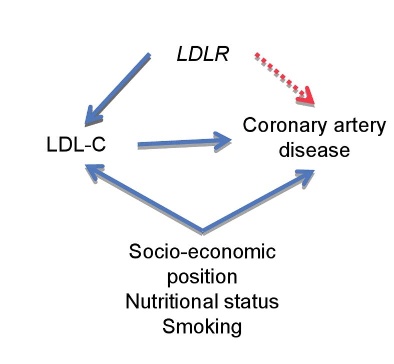 Applying Mendelian randomization to define the causal relationship between phenotype and disease.