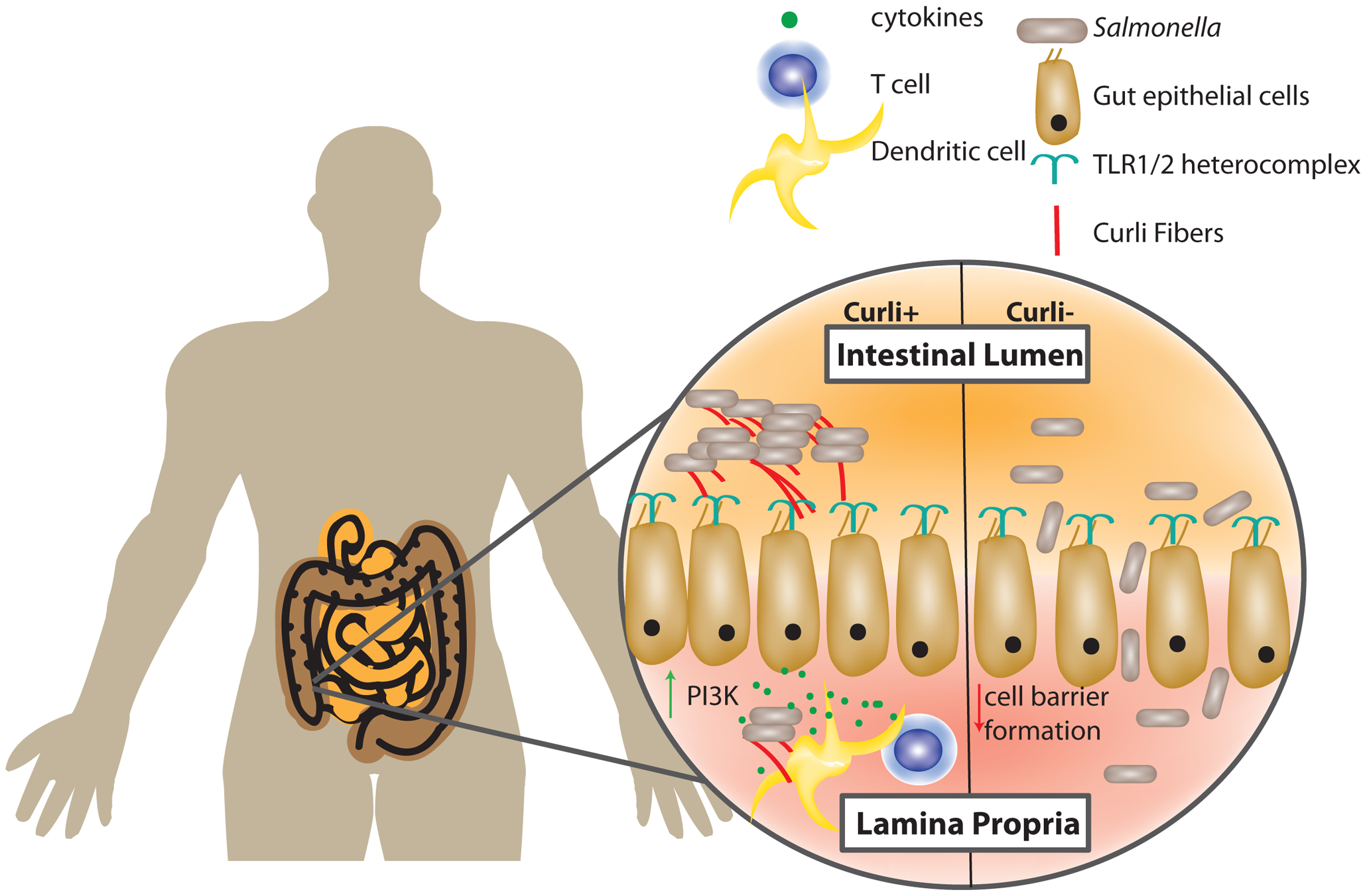 Gut epithelial cells and the host immune system recognize curli fibers.