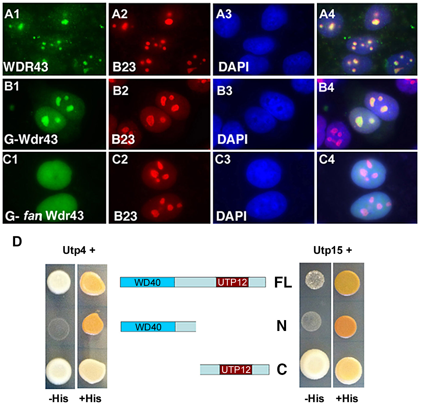 Subcellular localization and Y2H analyses of wild type and <i>fan</i> mutant Wdr43.