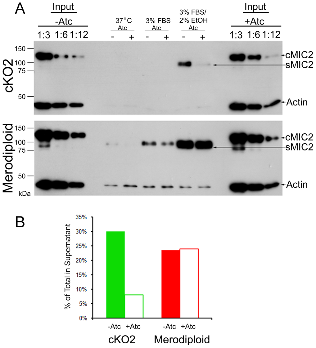 Shedding of MIC2 into the supernatant is decreased in the TgROM4 conditional knockout.