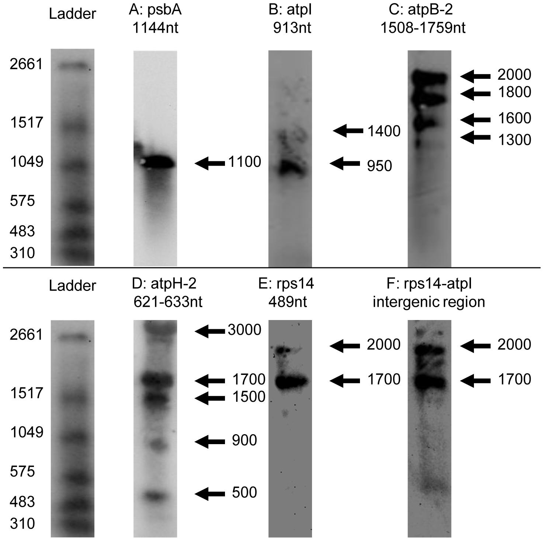 Northern blots of <i>Chromera velia</i> chloroplast transcripts.