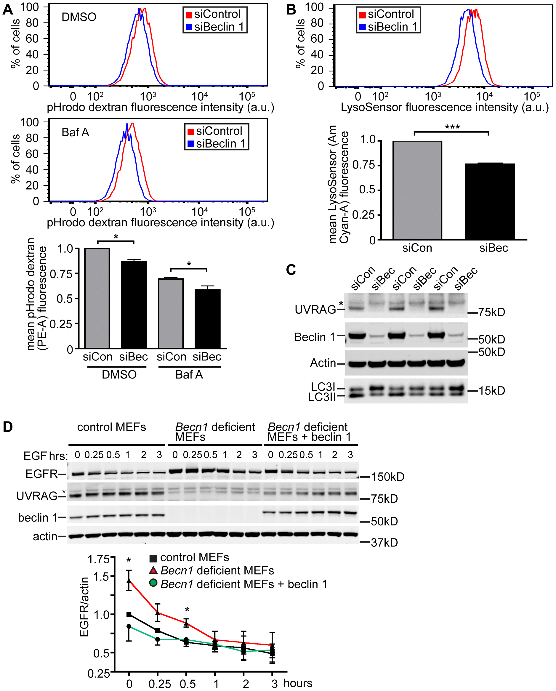 Beclin 1 deficient HeLa cells and MEFs display decreased endocytosis.