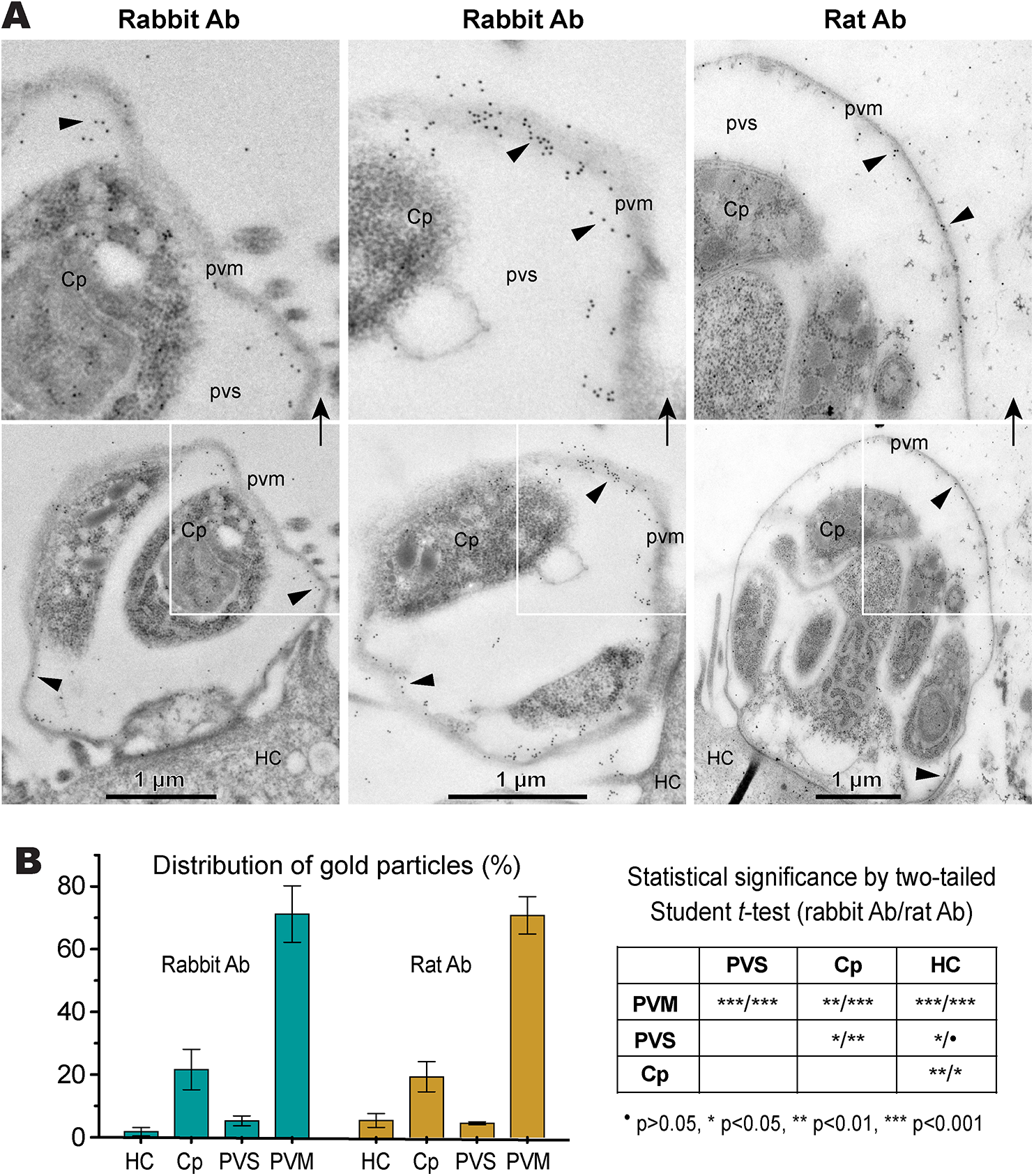 Subcellular distribution of CpLDH protein in intracellular <i>C</i>. <i>parvum</i> by immunoelectron microscopy (IEM).