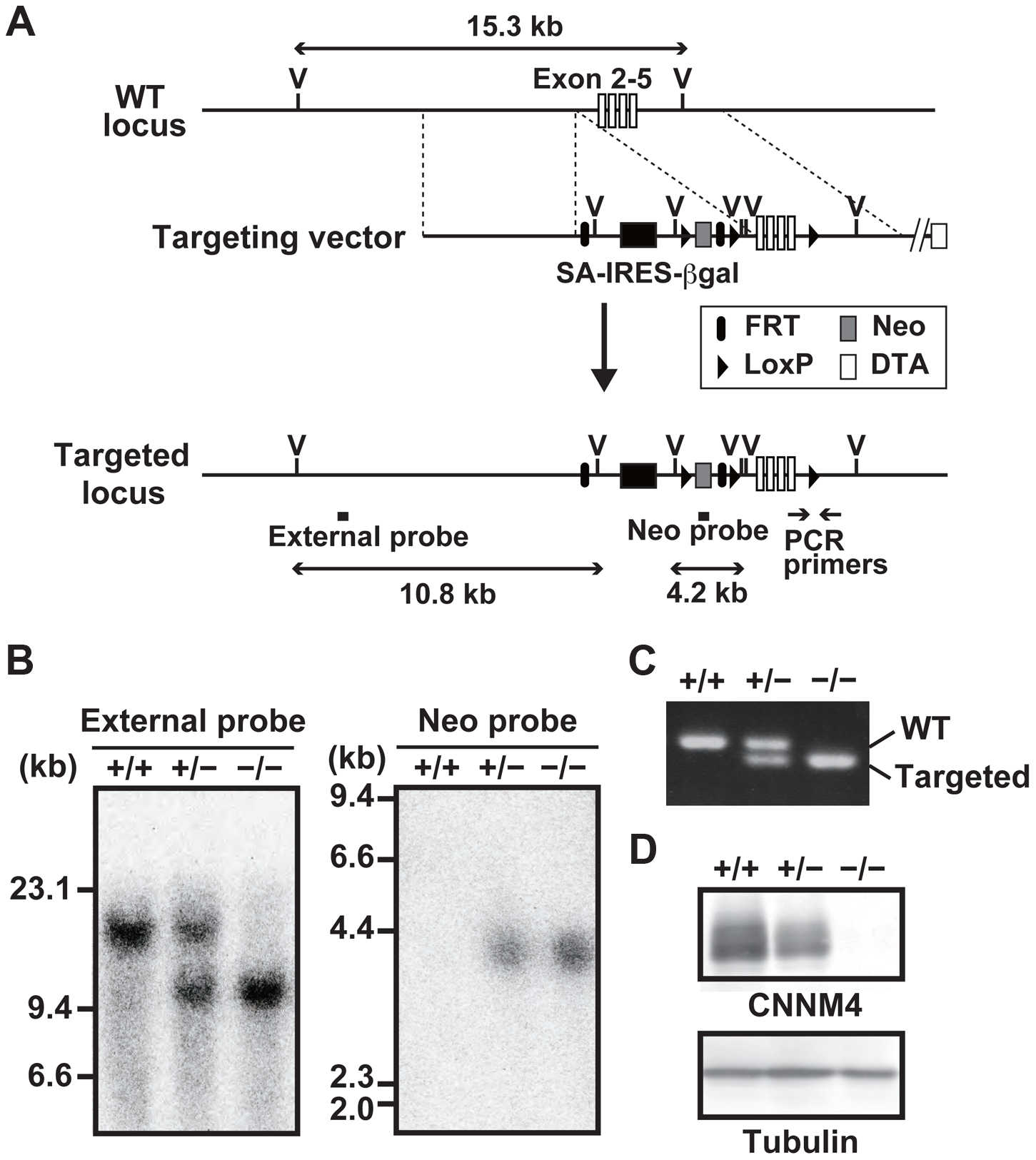 Generation of CNNM4-knockout mice.