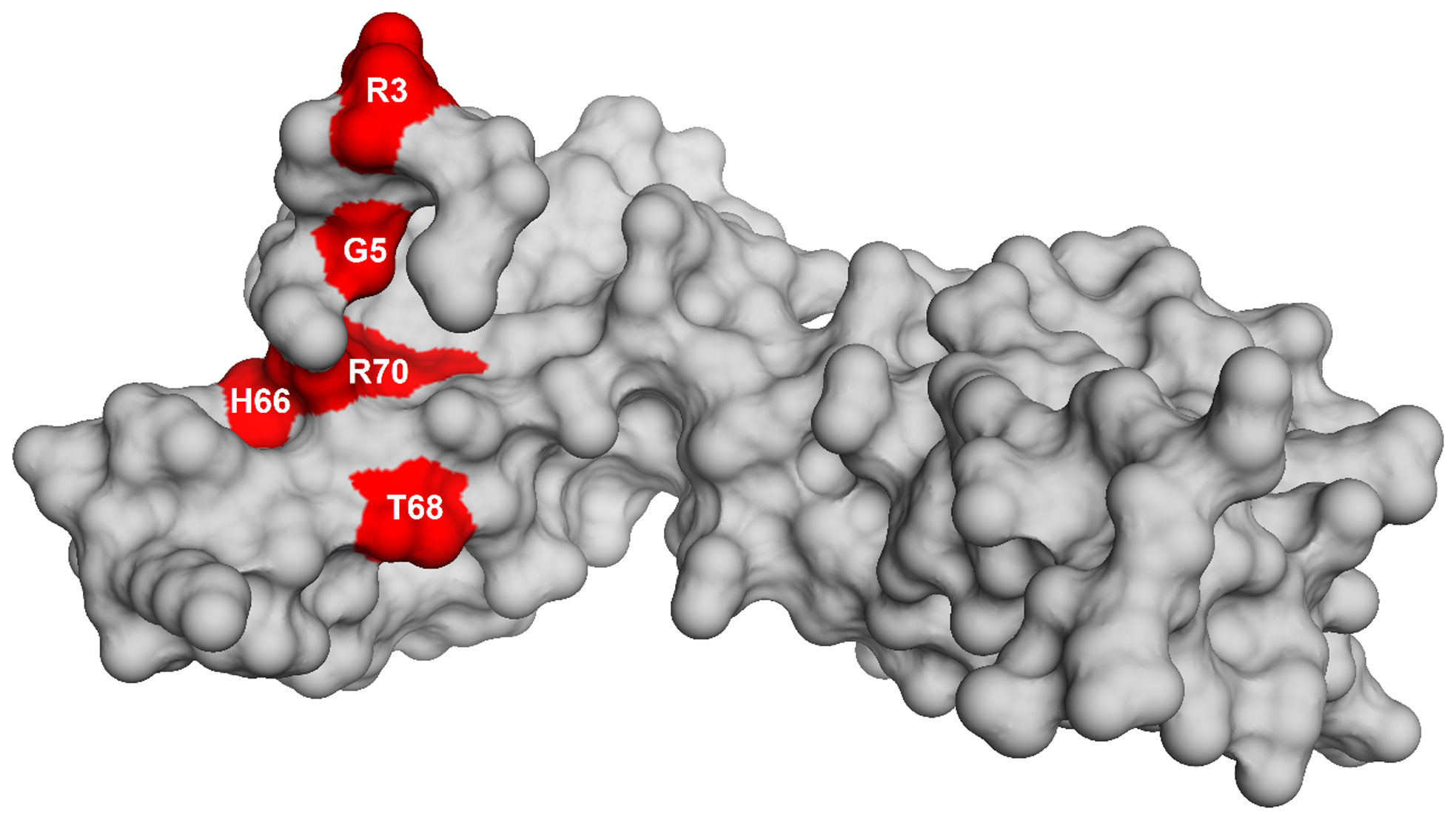 Homology model of L6 protein highlighting the substitutions that suppress the defect in RbgA.