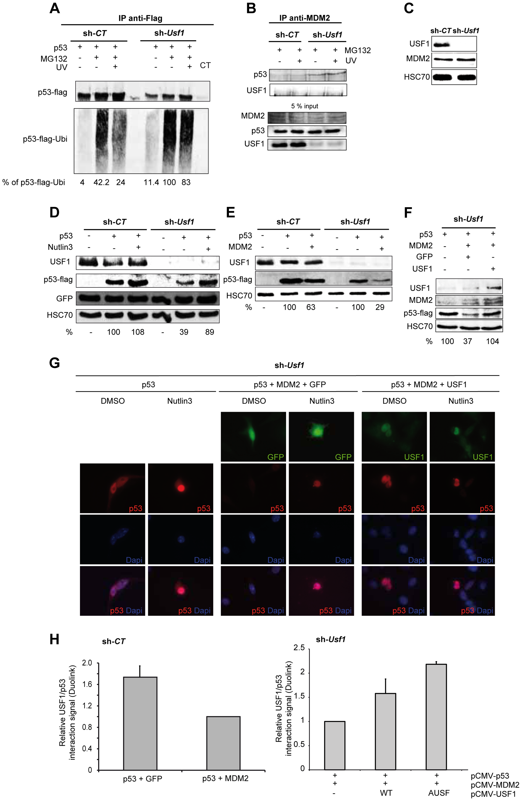 USF1 counteracts MDM2-mediated p53 degradation upon cellular stress.
