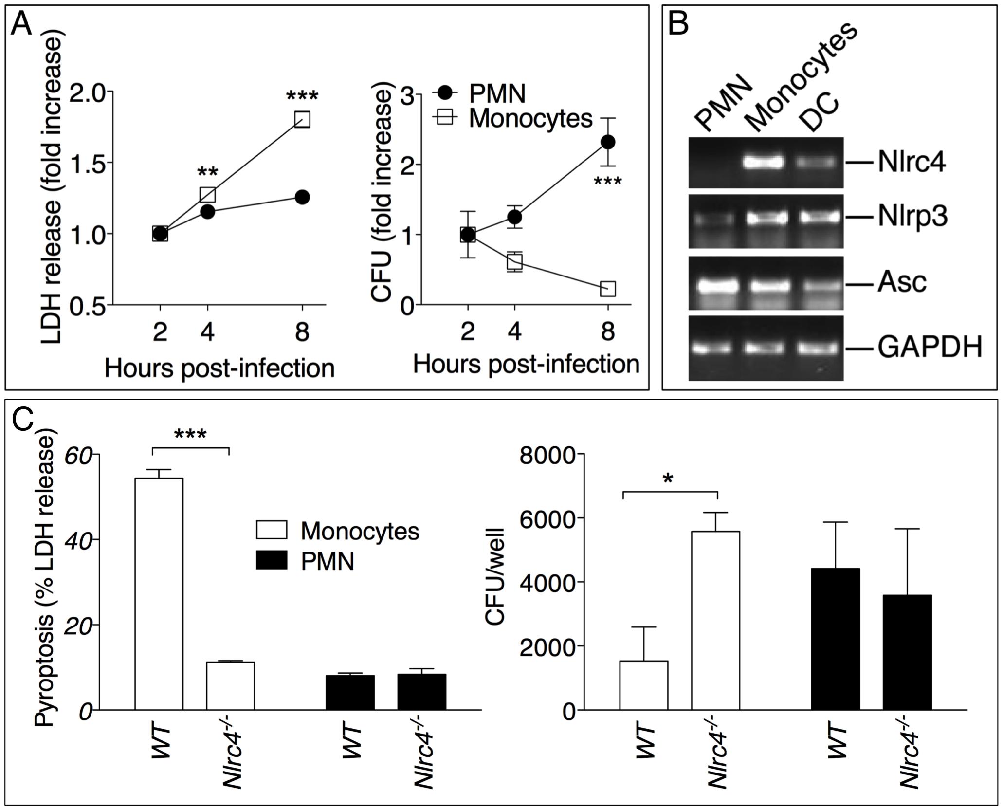 Neutrophils do not undergo pyroptosis and fail to restrict <i>B. pseudomallei</i> replication.