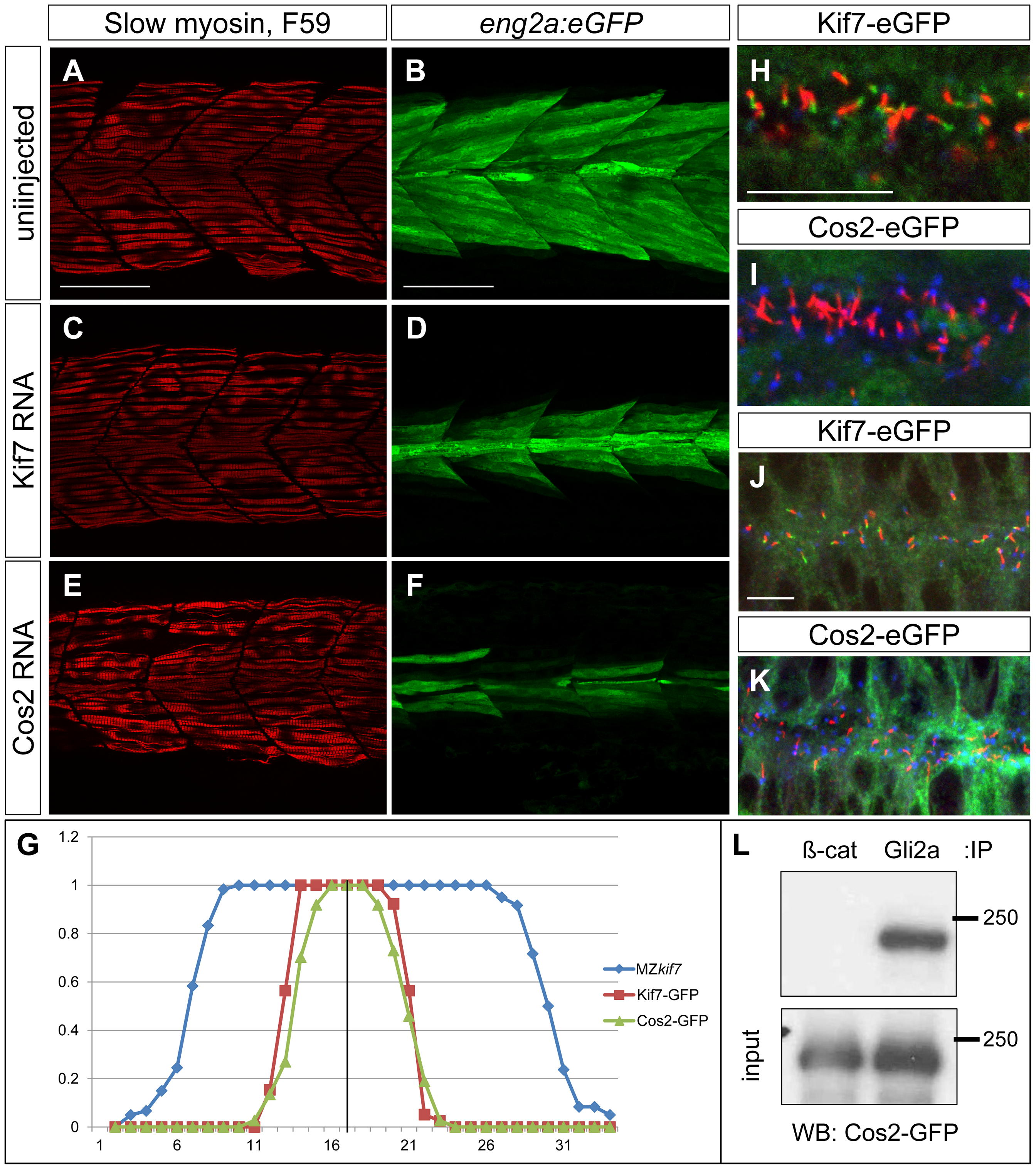 Drosophila Cos2 rescues Kif7 function and binds endogenous Gli2a.