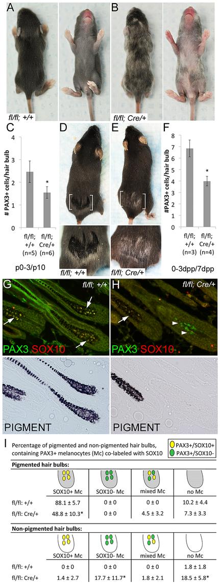<i>Sox10</i> is required by bulb melanocytes postnatally.