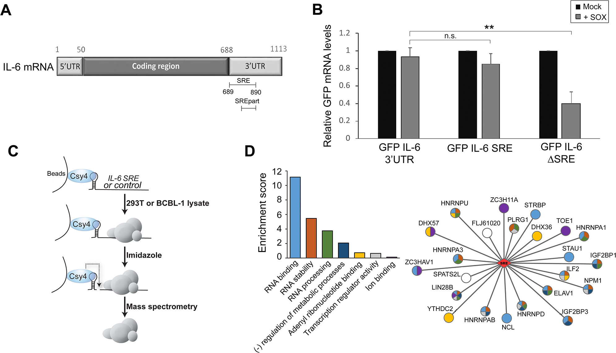 Identification of the RNP complex associated with the IL-6 SRE.