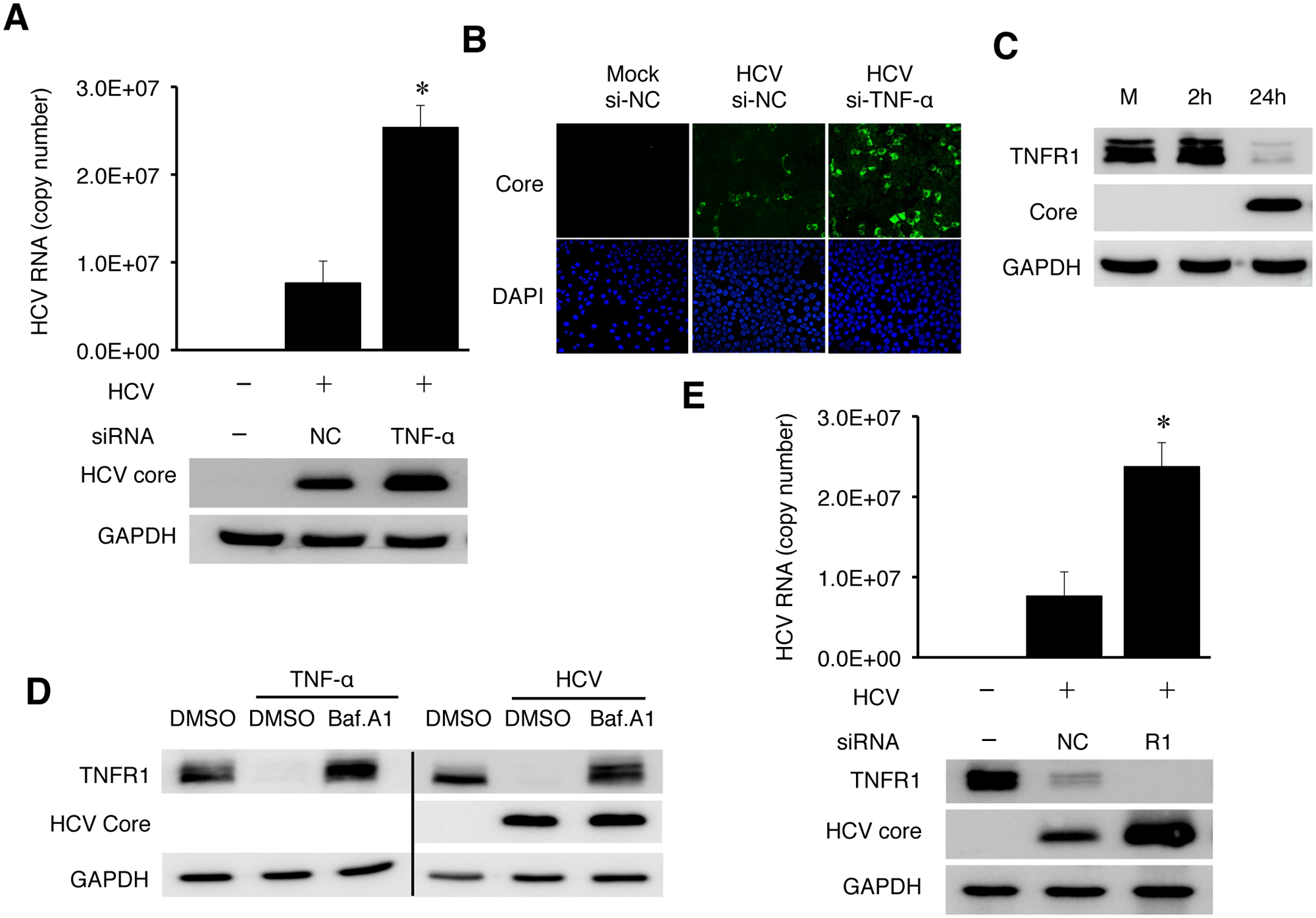 TNF-α knockdown enhanced HCV replication.