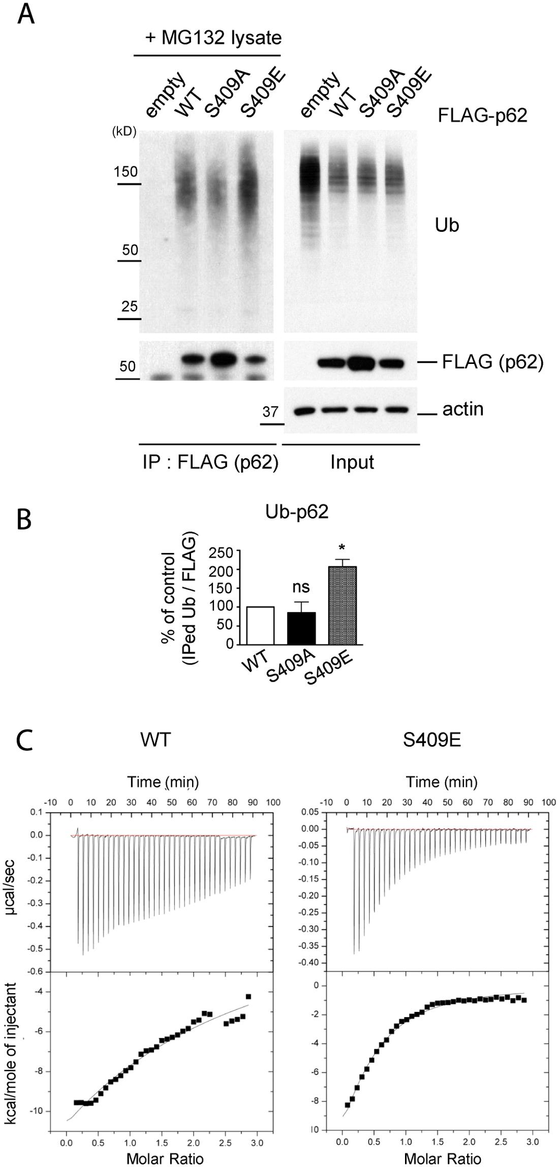 ULK1-mediated phosphorylation of p62 at S409 enhances p62 and Ub binding affinity.