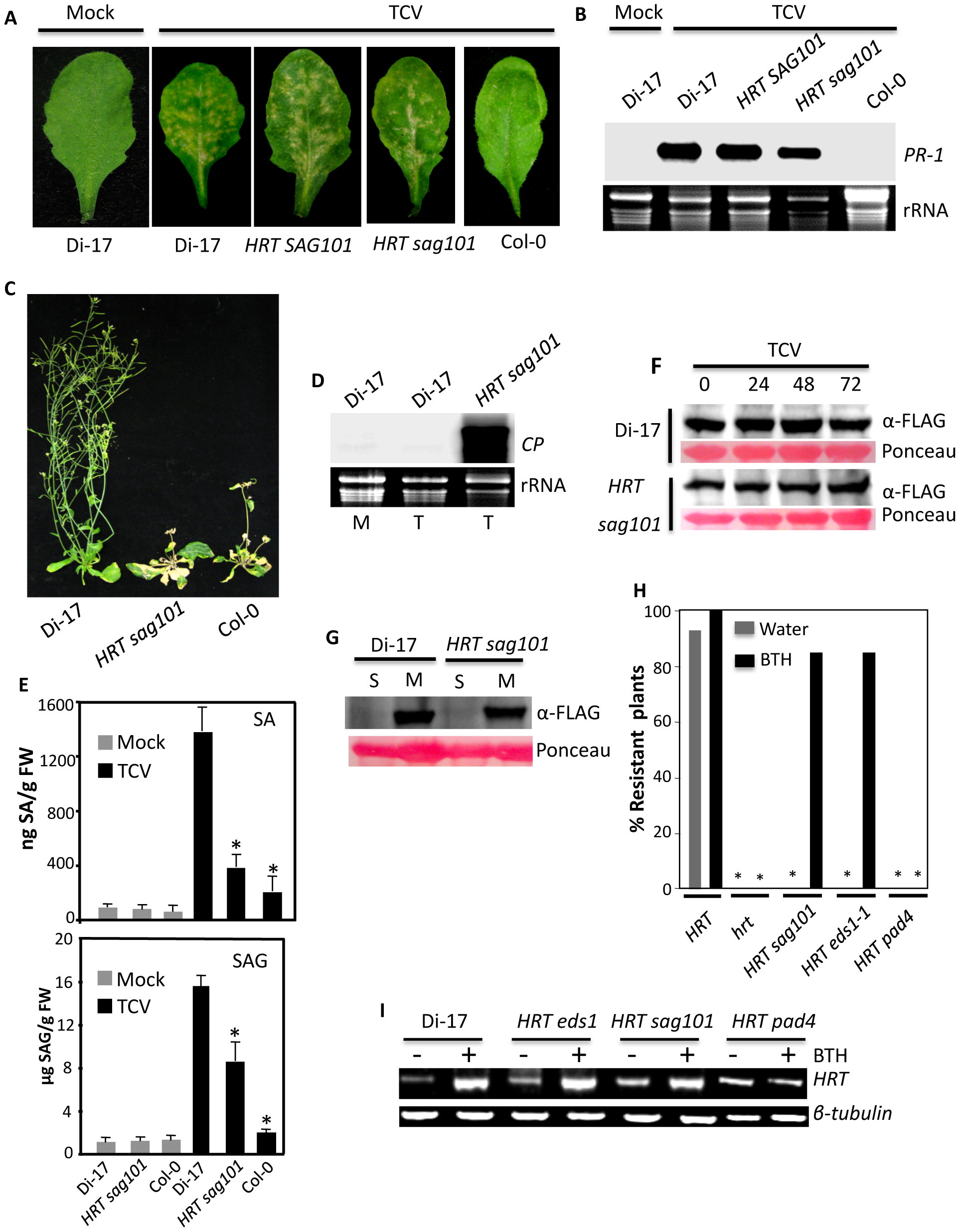 SAG101 is required for HRT-mediated resistance to TCV.