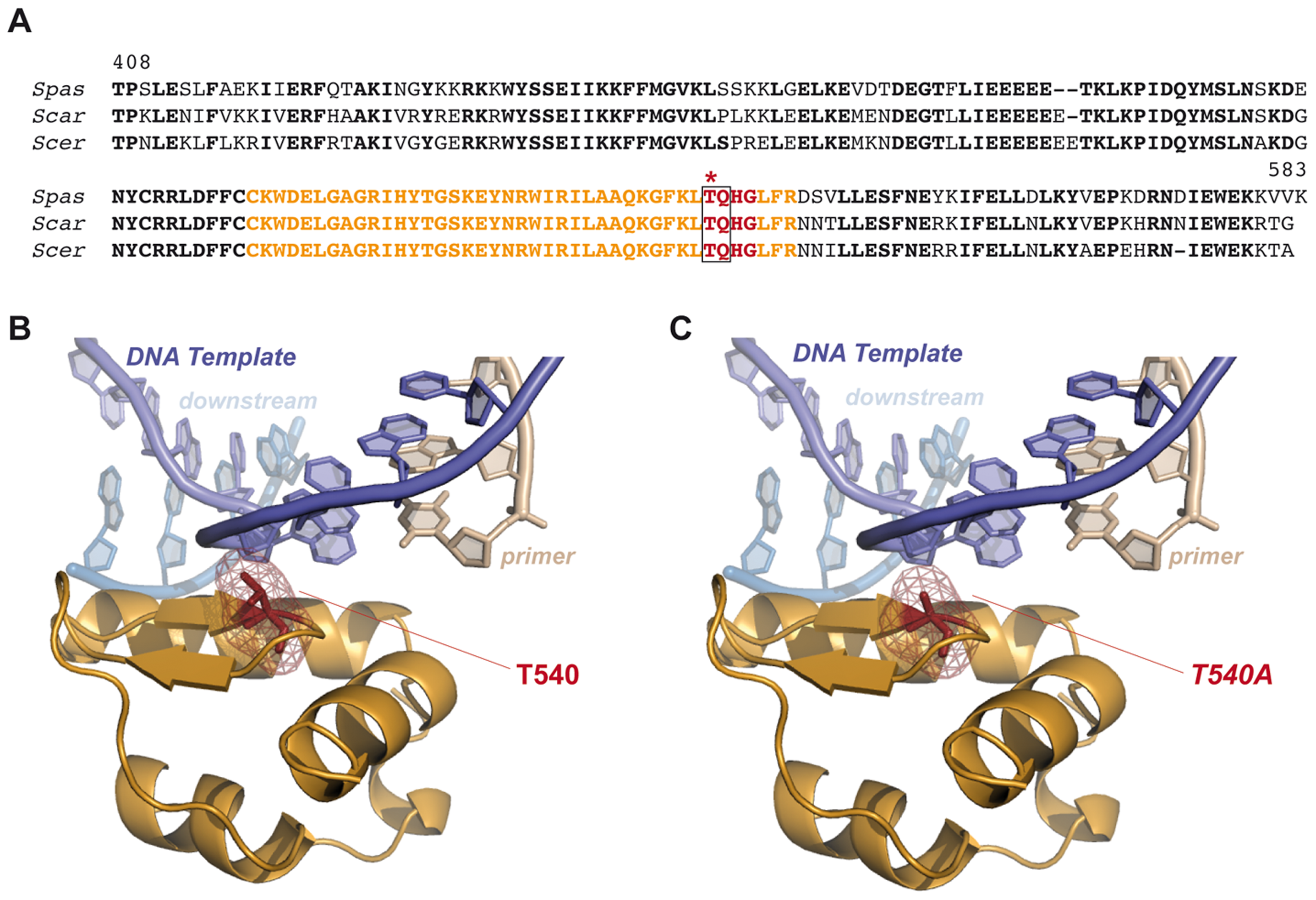 Modeling consequences of Tel1-mediated Pol4 phosphorylation at Thr<sup>540</sup> amino acid residue during NHEJ.