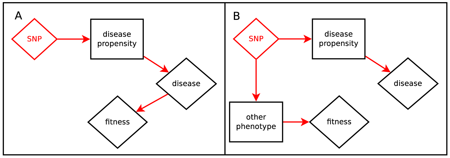 Hypotheses relating SNP effect and fitness effect.