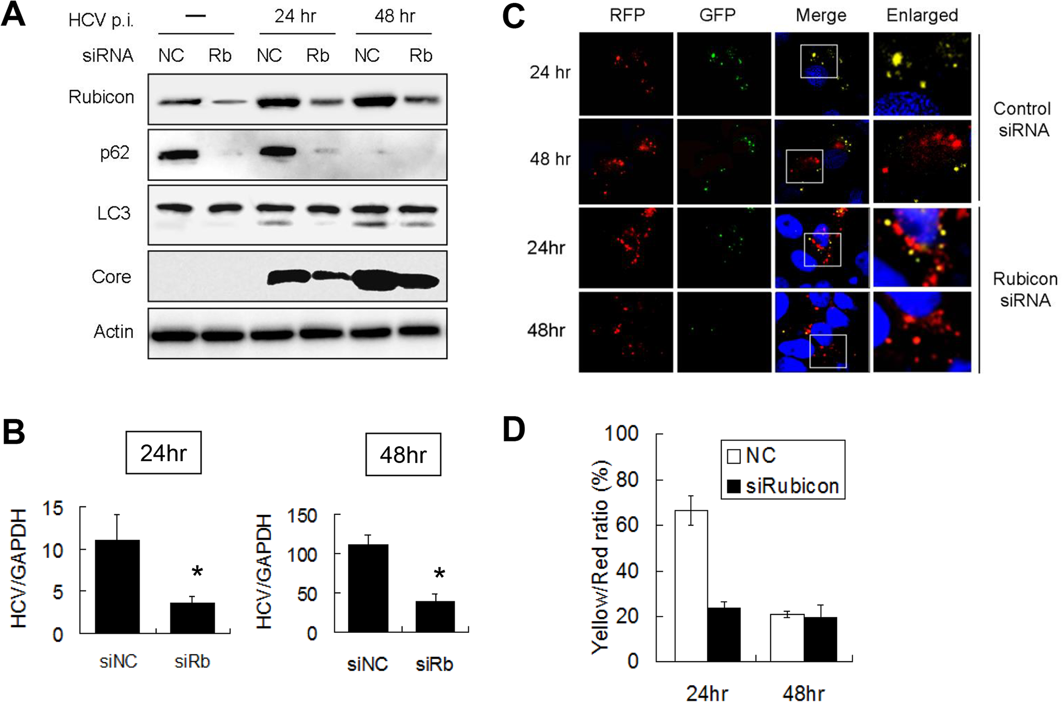Suppression of Rubicon expression enhanced the maturation of autophagosomes and inhibited HCV RNA replication.