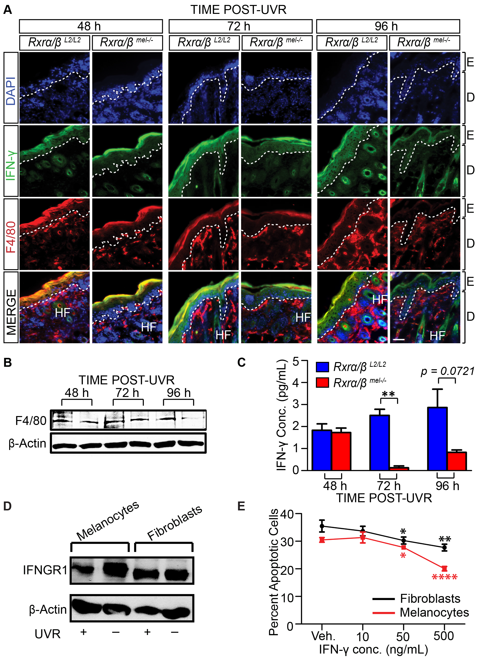Loss of melanocytic RXRs α and β results in reduced monocyte/macrophage infiltration and corresponding reduced interferon-γ (IFN- γ) expression following UV radiation.