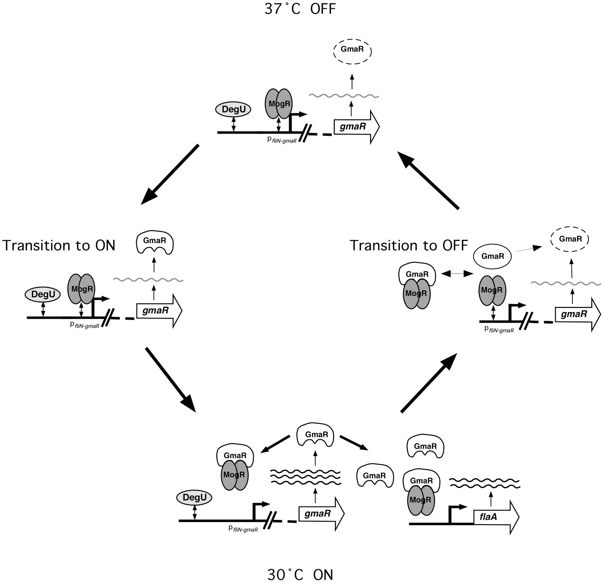 Model for the temperature-dependent regulation of GmaR expression and flagellar motility gene transcription in <i>Lm</i>.