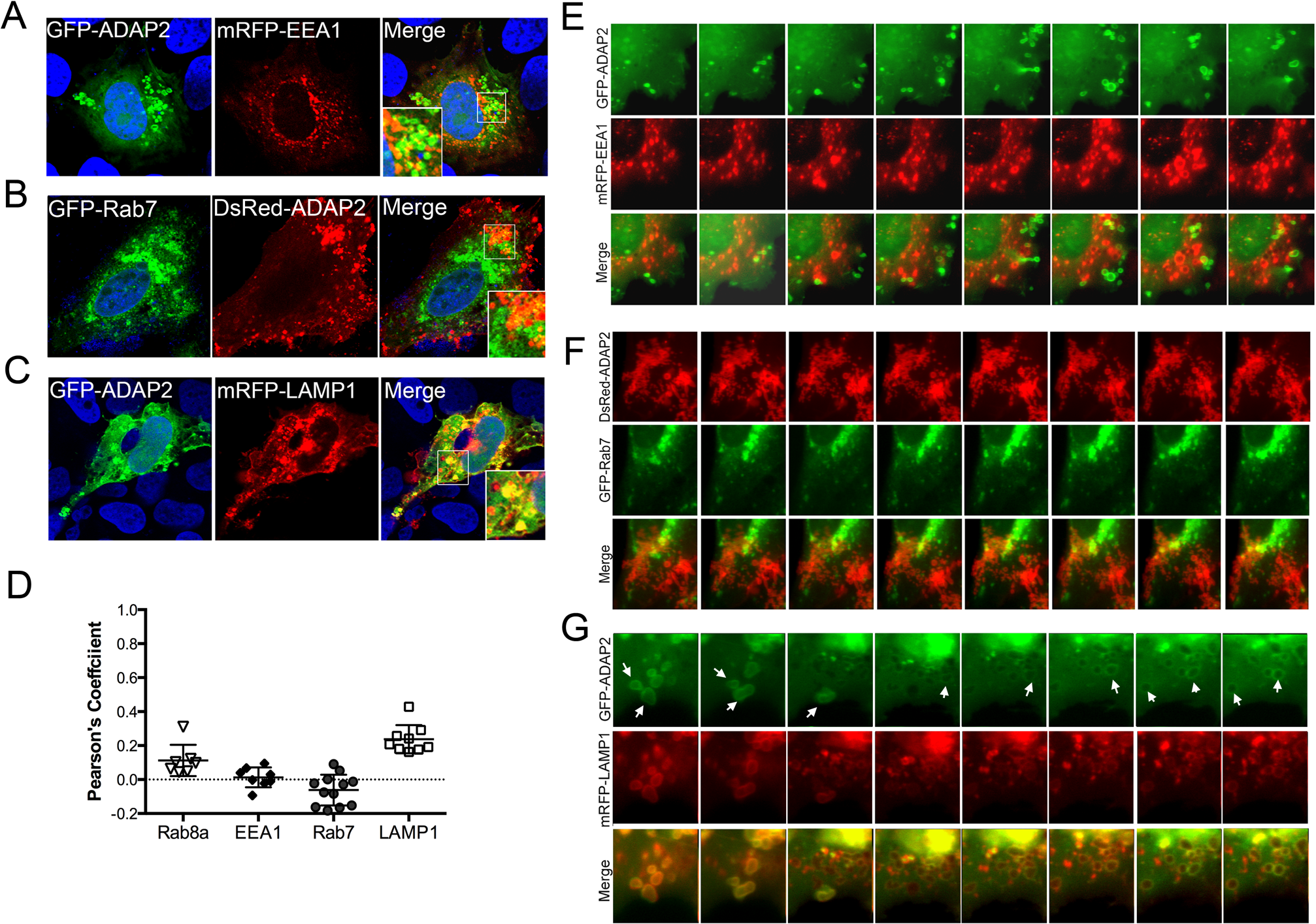 ADAP2 associates with LAMP1-positive lysosomes, but not early or late endosomes.
