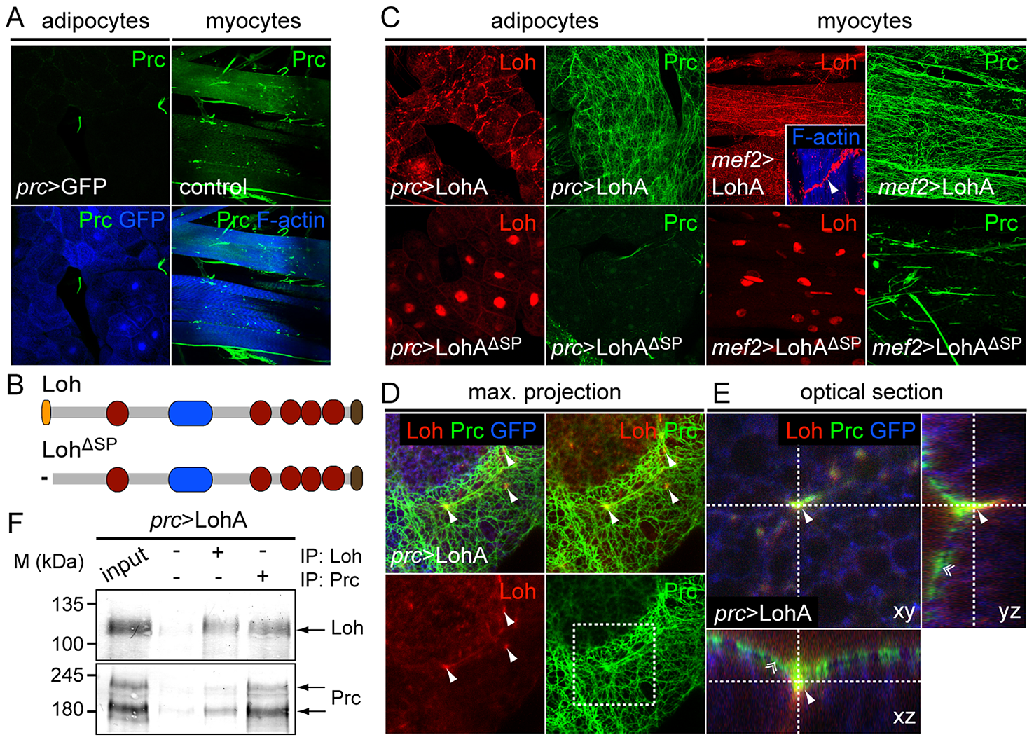Loh induces Prc matrix formation <i>in vivo</i>.