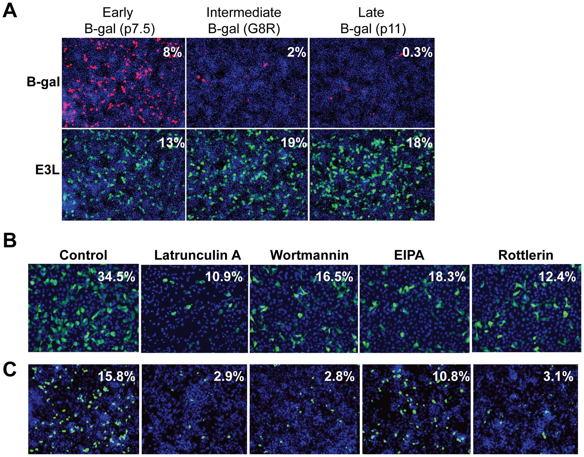Vaccinia virus undergoes entry in <i>Drosophila</i> cells.