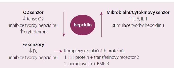Přehled jednotlivých mechanizmů uplatňujících se v regulaci tvorby hepcidinu.