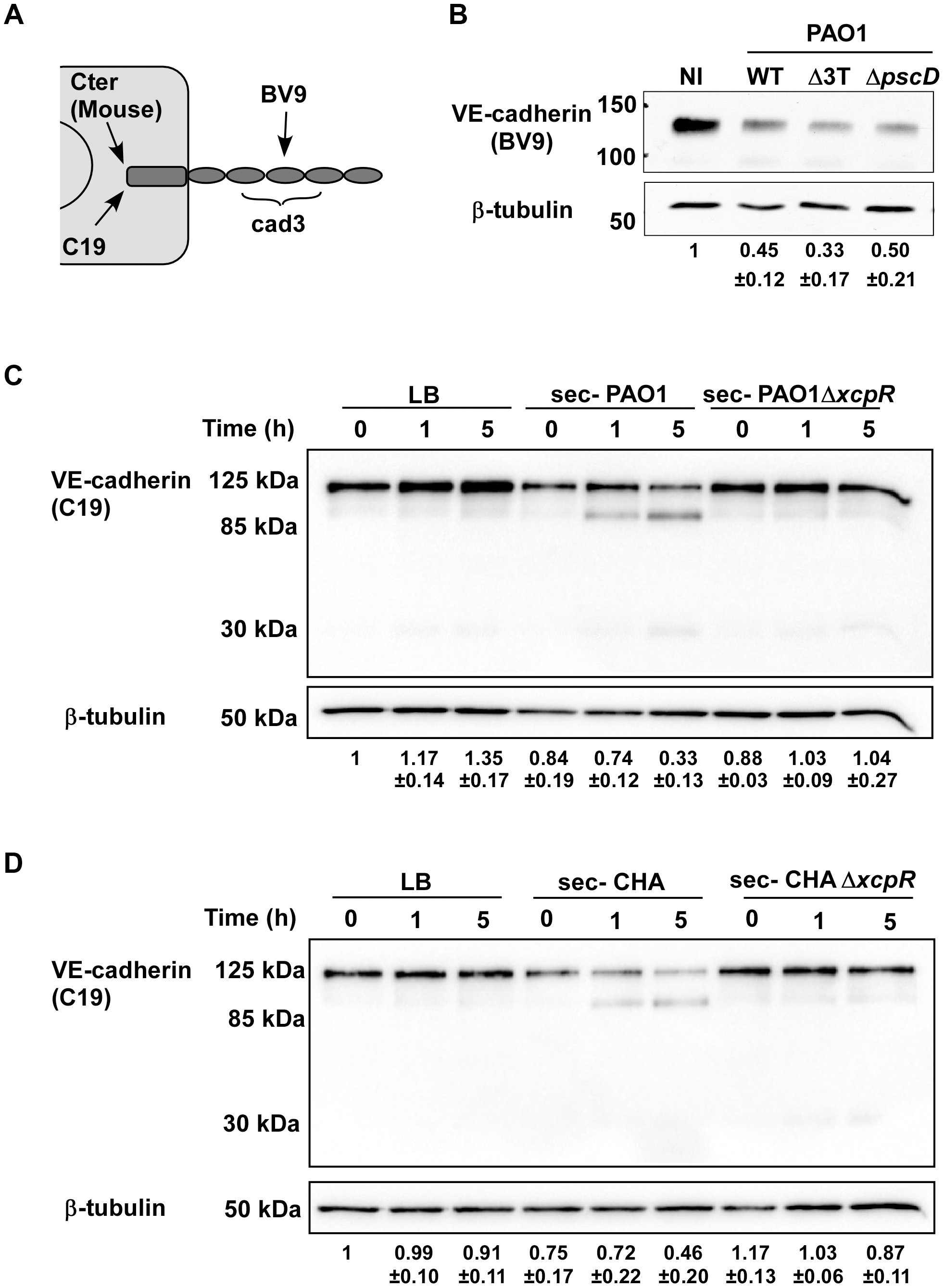 Induction of VE-cadherin proteolytic cleavage by <i>P. aeruginosa</i> T2SS.