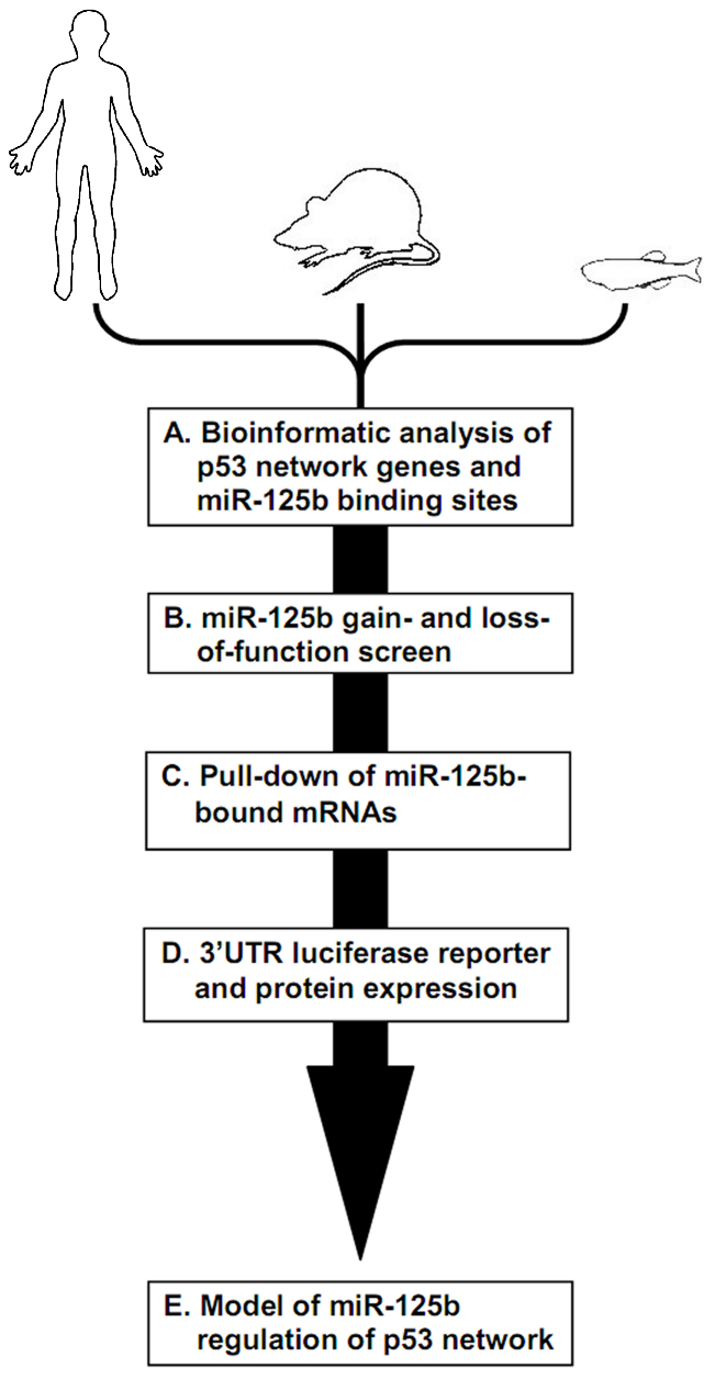 Identifying miR-125b targets in the p53 network of vertebrates.