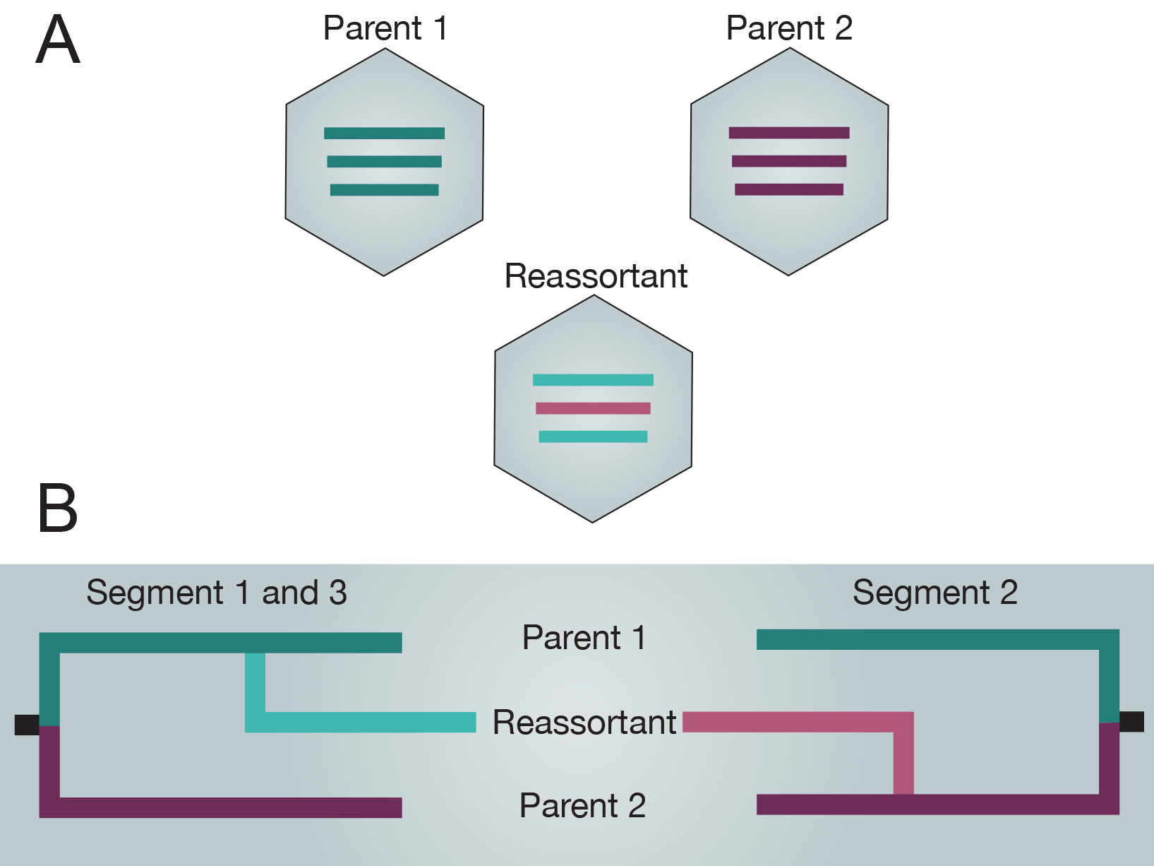 Reassortment of two tripartite genomes producing a novel reassortant.