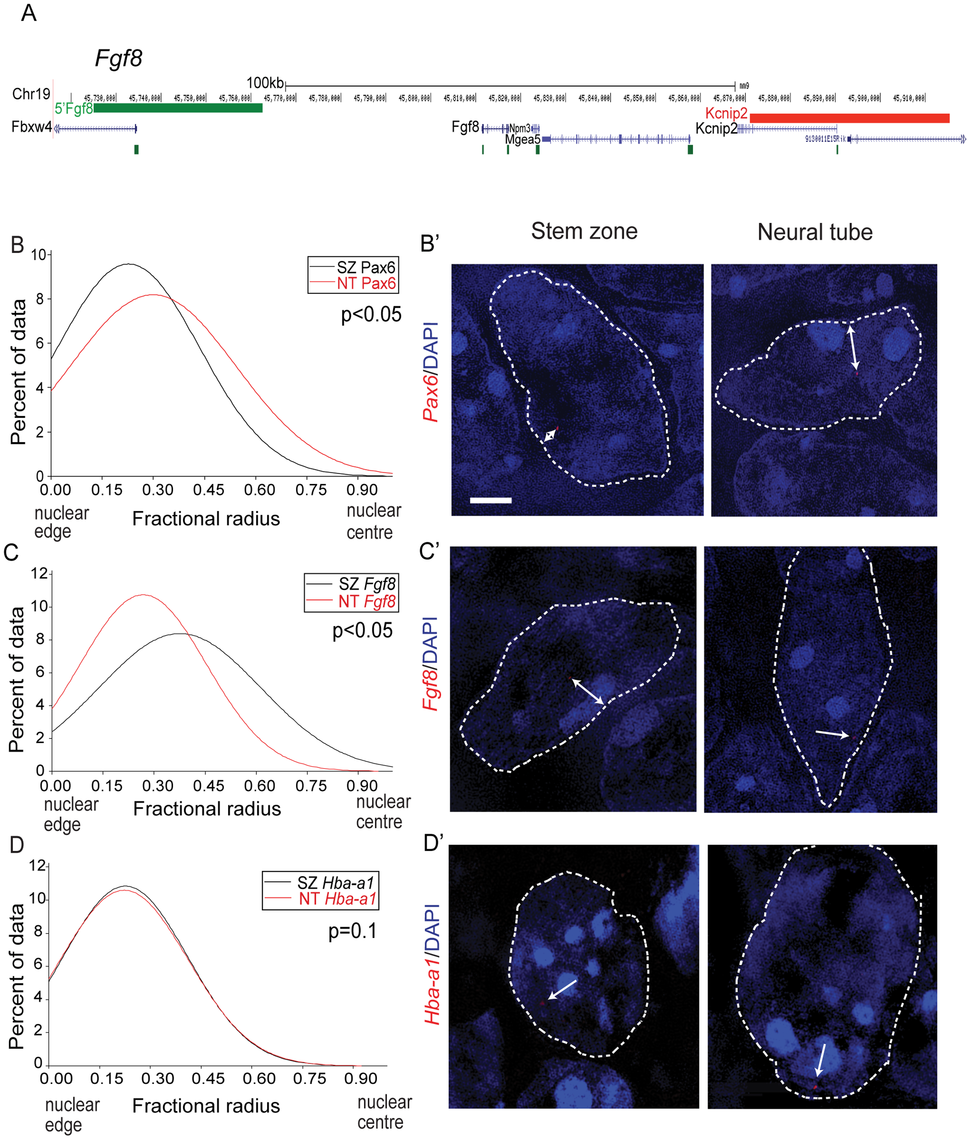 <i>Pax6</i> and <i>Fgf8</i> loci exhibit altered nuclear radial position coincident with transcriptional status.