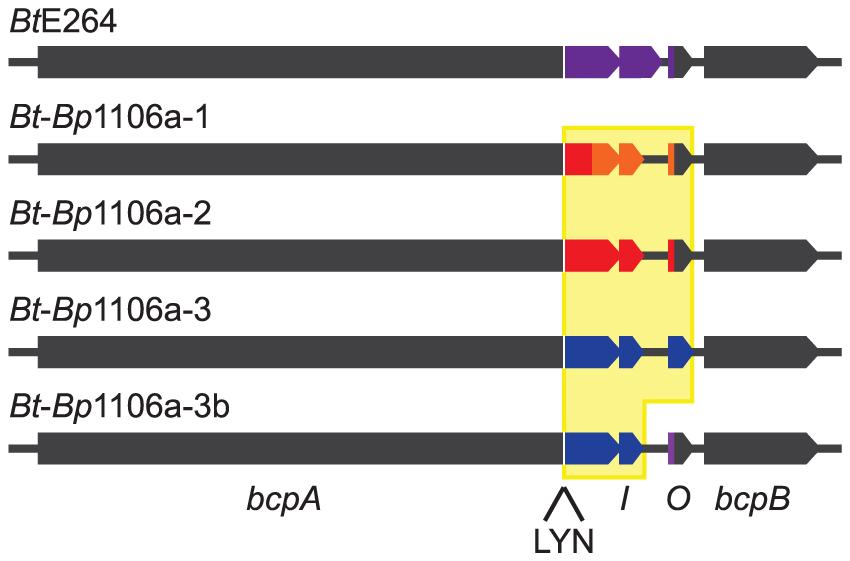 <i>Bt</i>E264 and <i>Bt</i>-<i>Bp</i> chimeric <i>bcpAIOB</i> loci diagram.