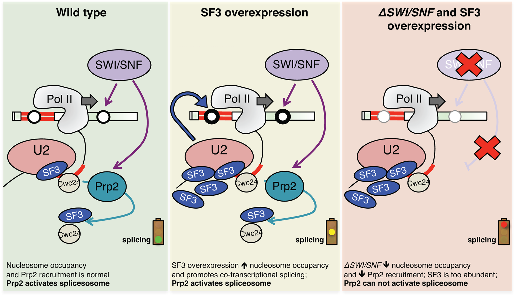 Model illustrating the effect of SF3 overexpression and deletion of SWI/SNF on splicesome activation, nucleosome occupancy and RNAPII elongation.
