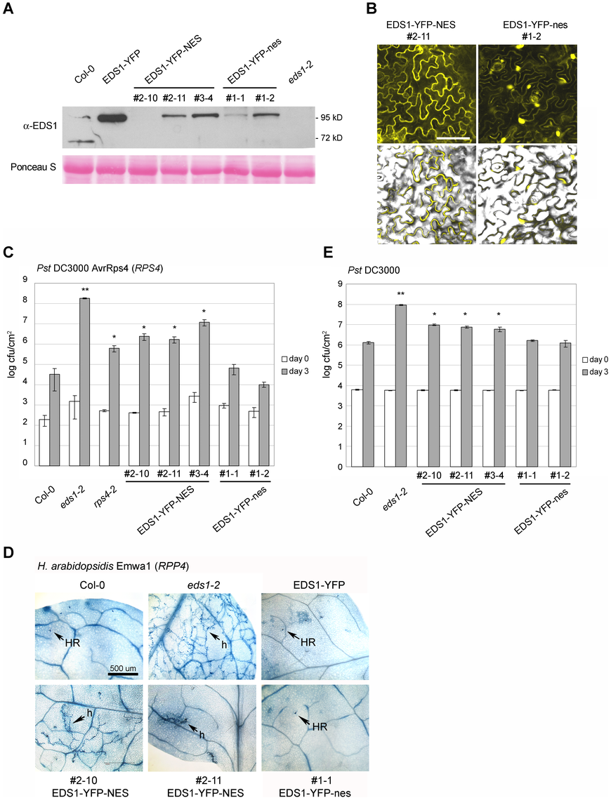 Enhanced export of EDS1 from nuclei leads to reduced resistance.